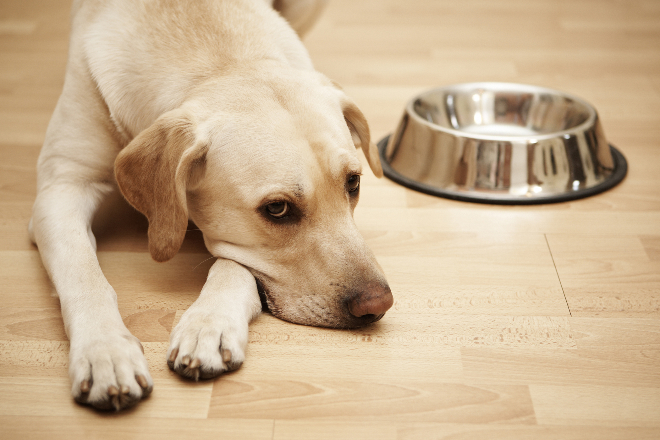 Как лечить понос у щенка в домашних условиях