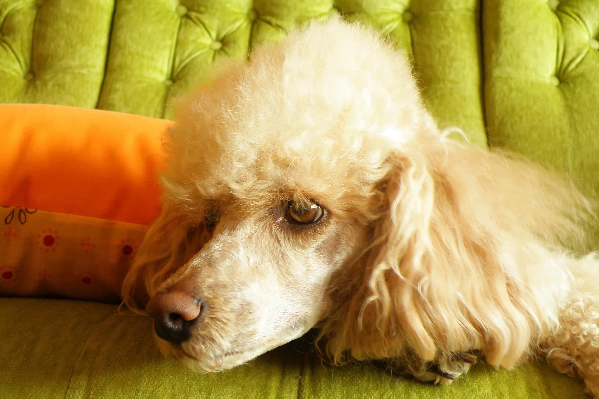 Fibular Head Transposition in Dogs