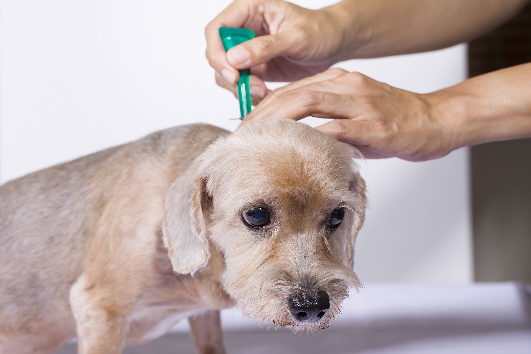 Can You Get Fleas From Your Dog