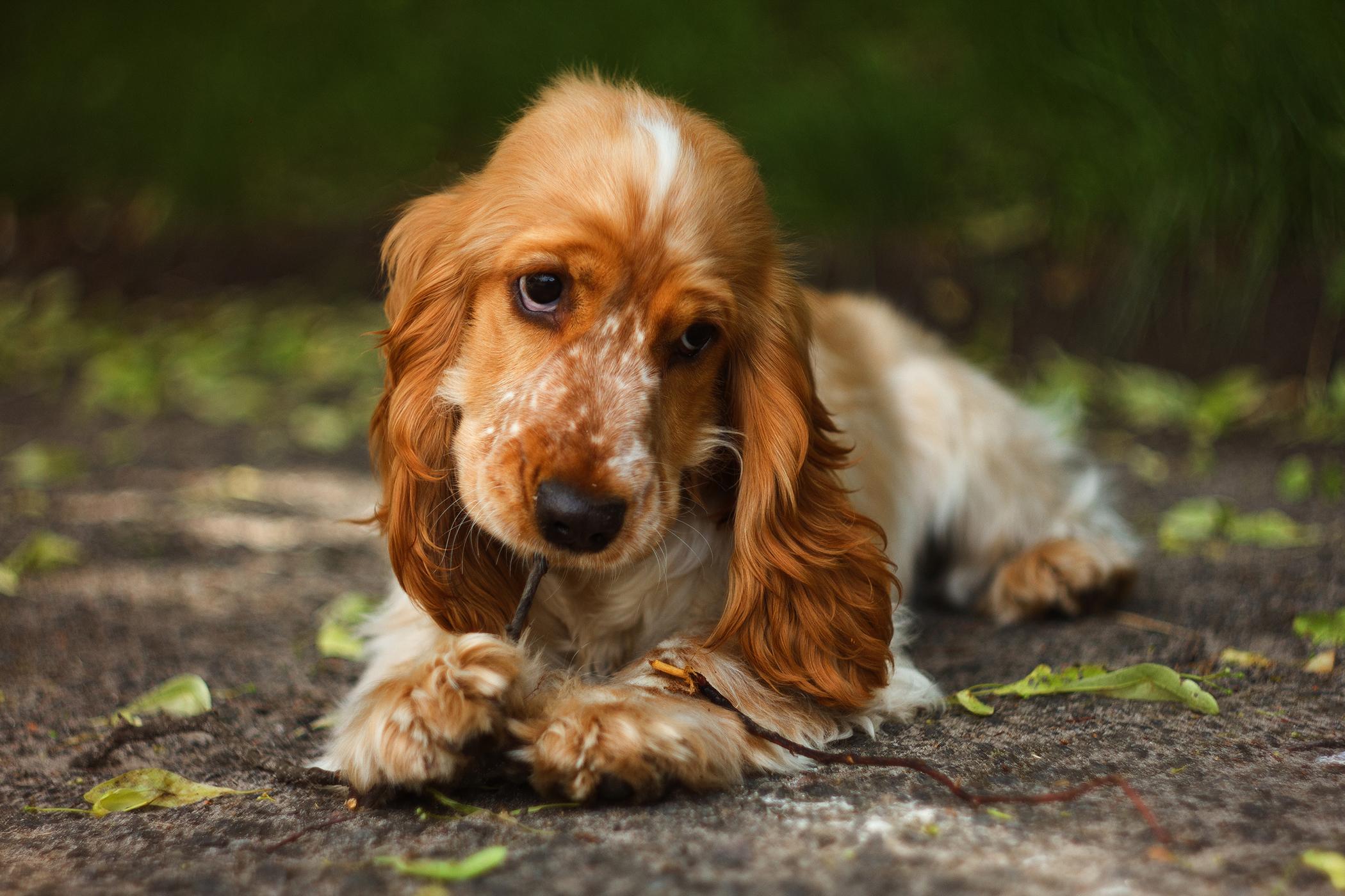 Gastrotomy in Dogs