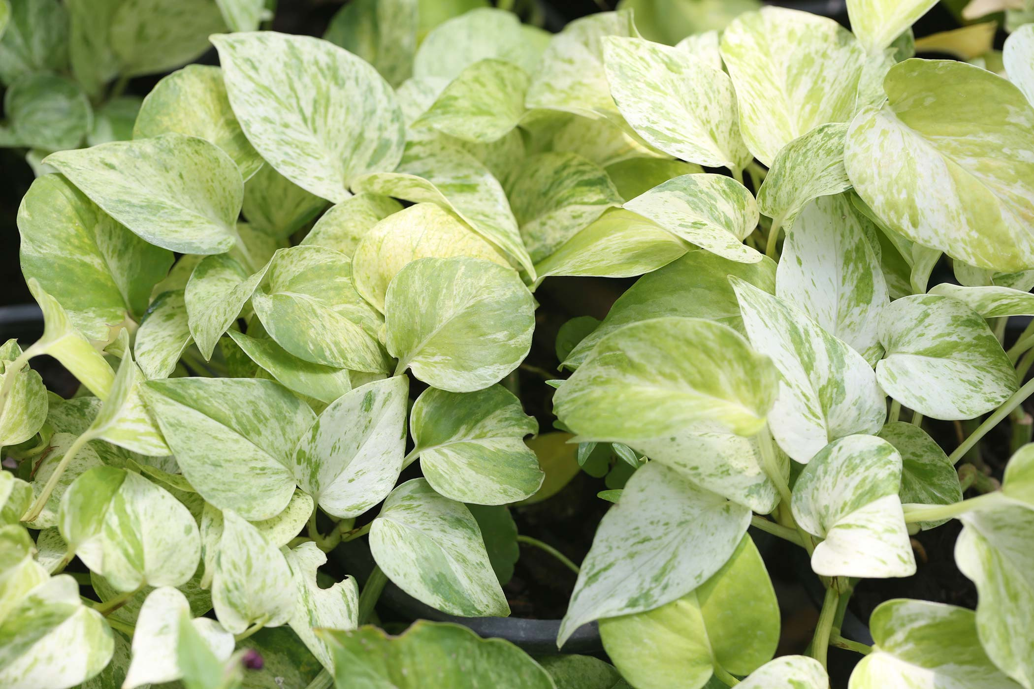 Golden Pothos Tree Poisoning In Dogs Symptoms Causes