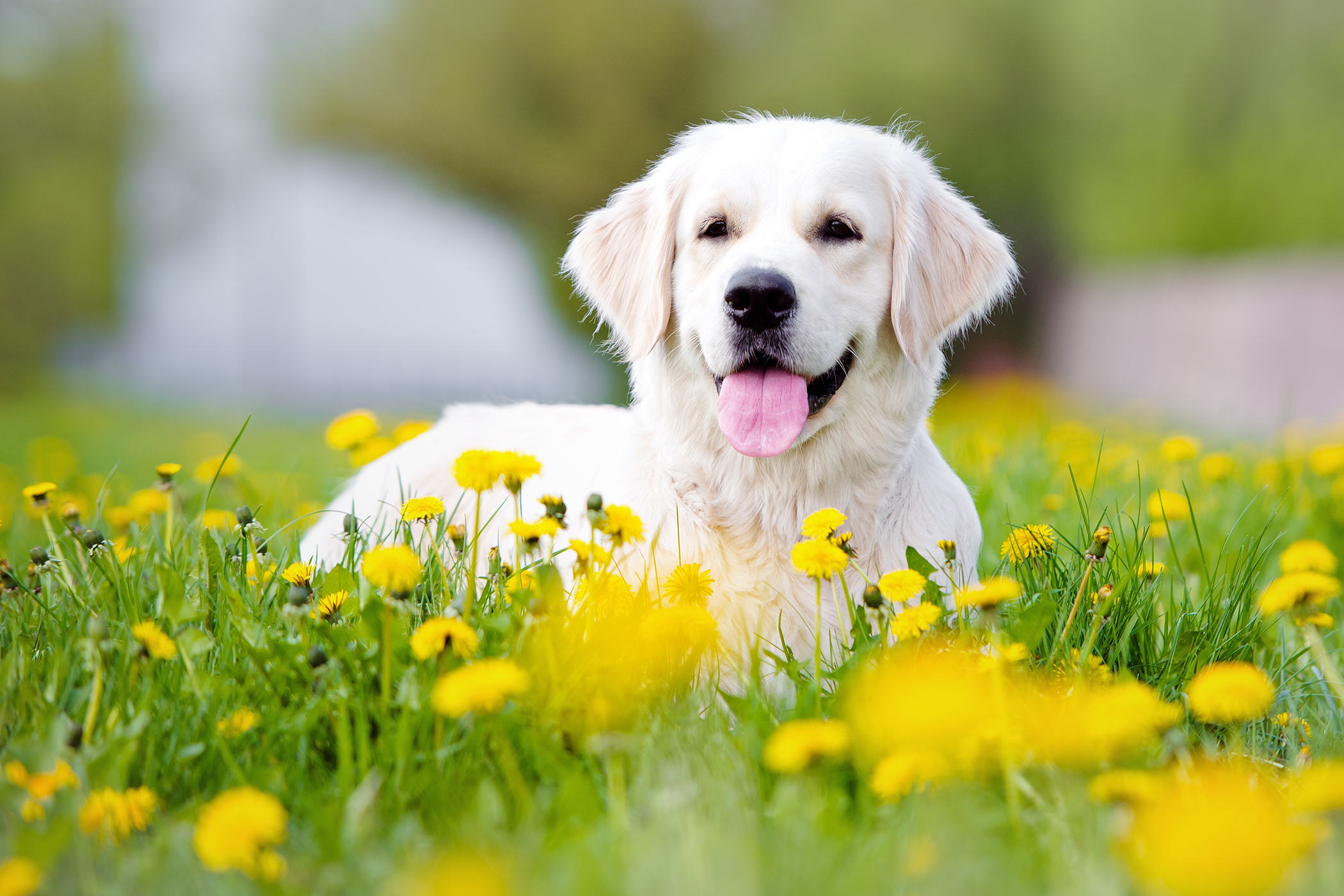 Hearing Aids in Dogs