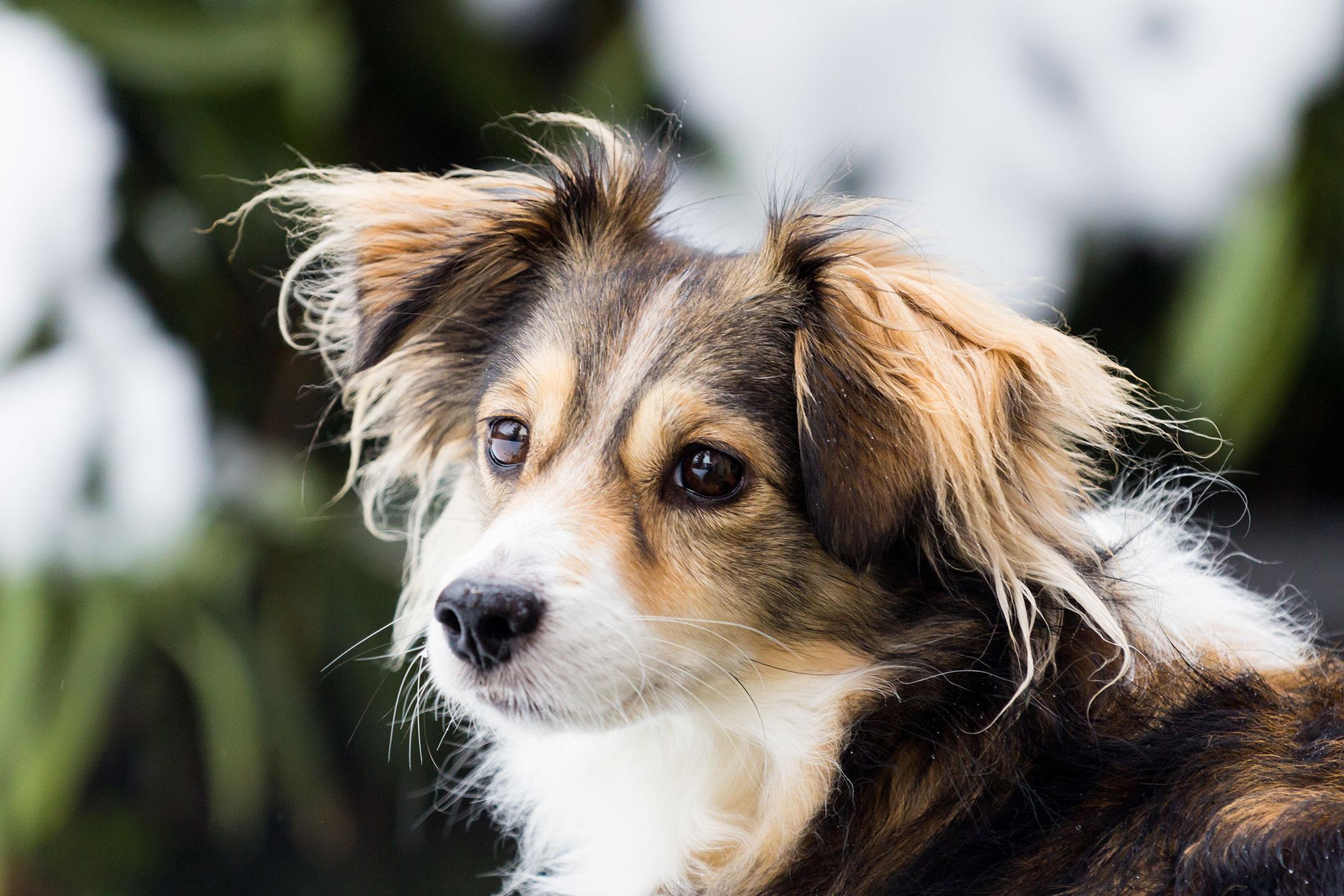 Infertility (Female) in Dogs