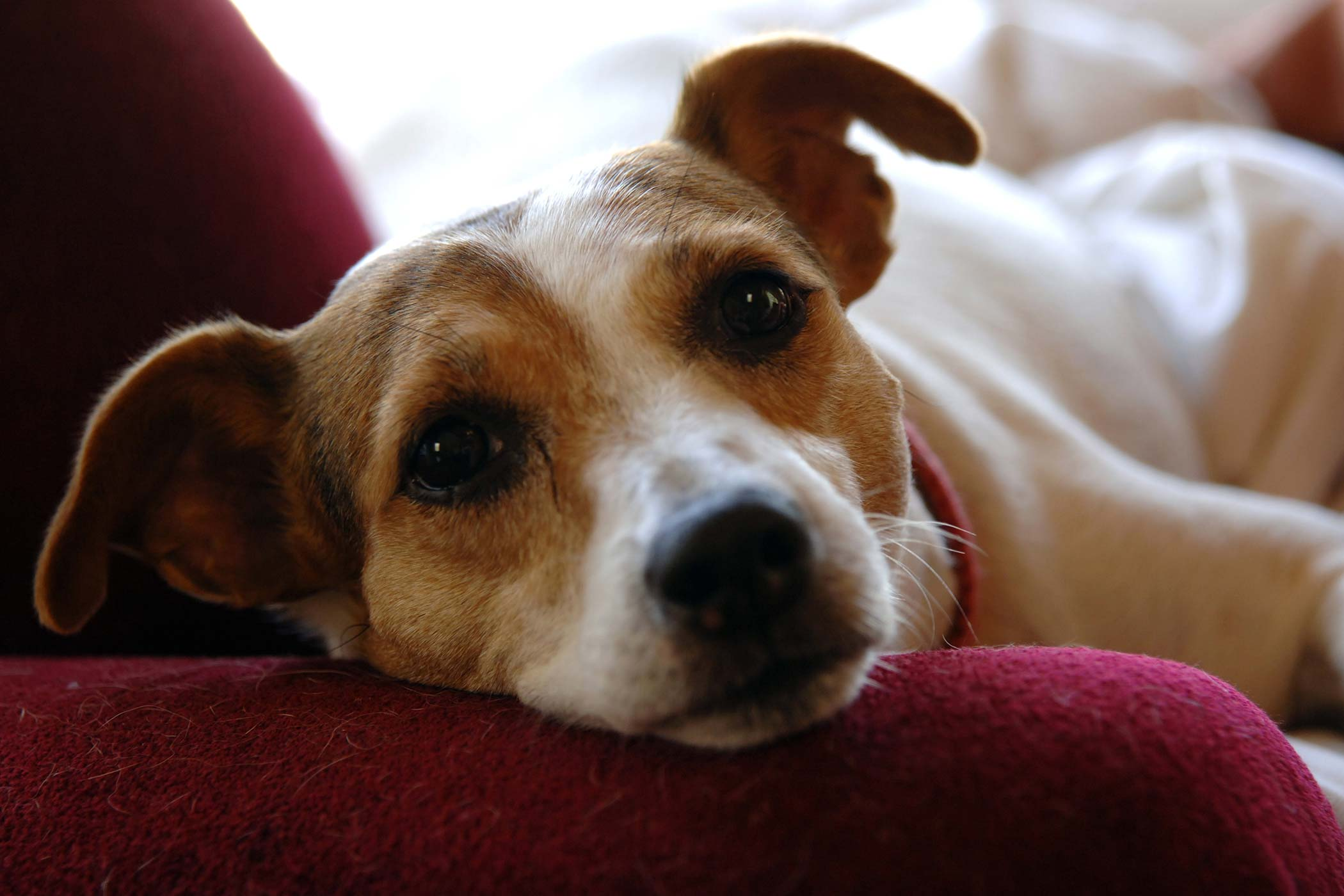 Food Allergies Of Dogs