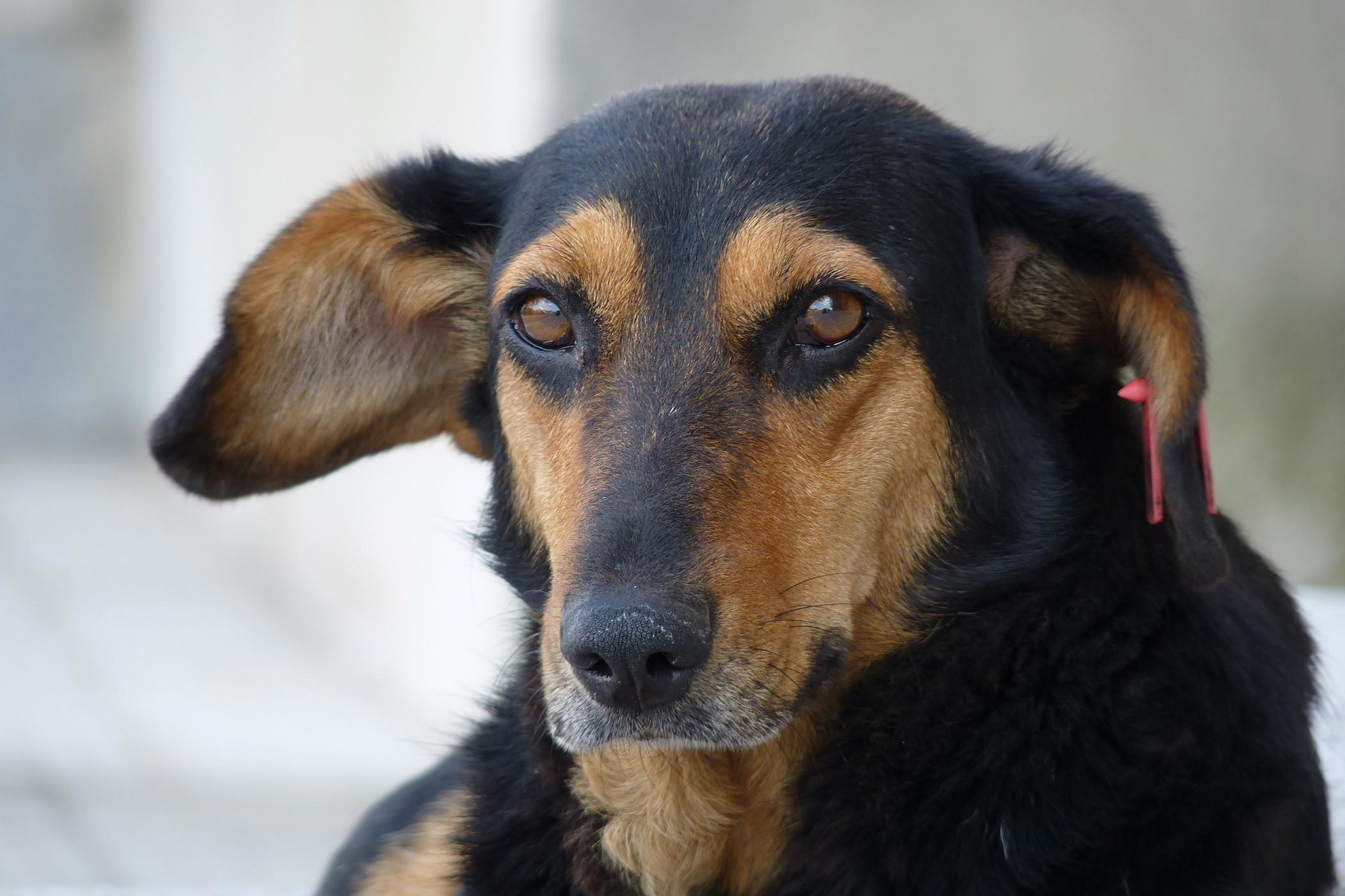 Laparotomy in Dogs