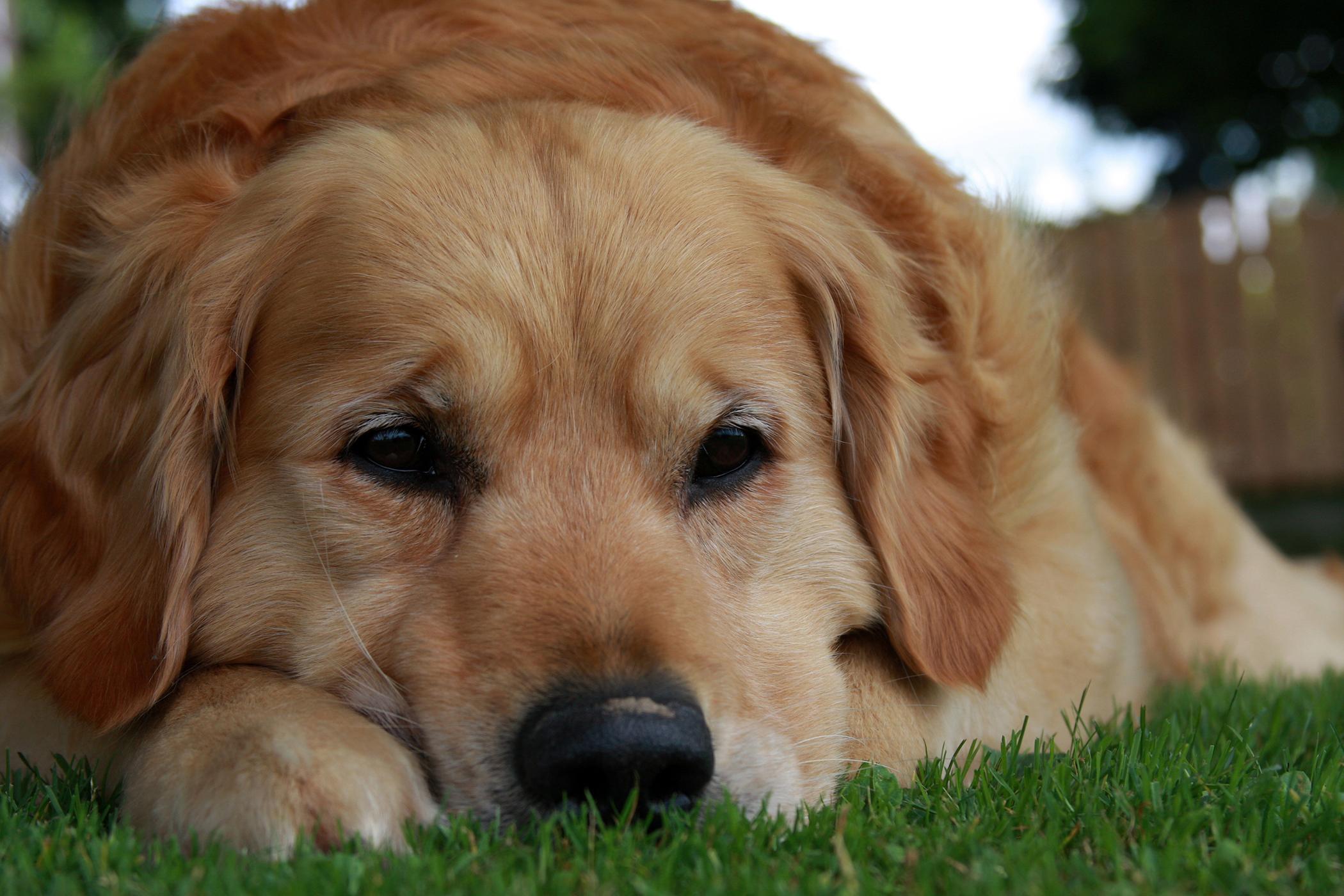 Laryngectomy in Dogs