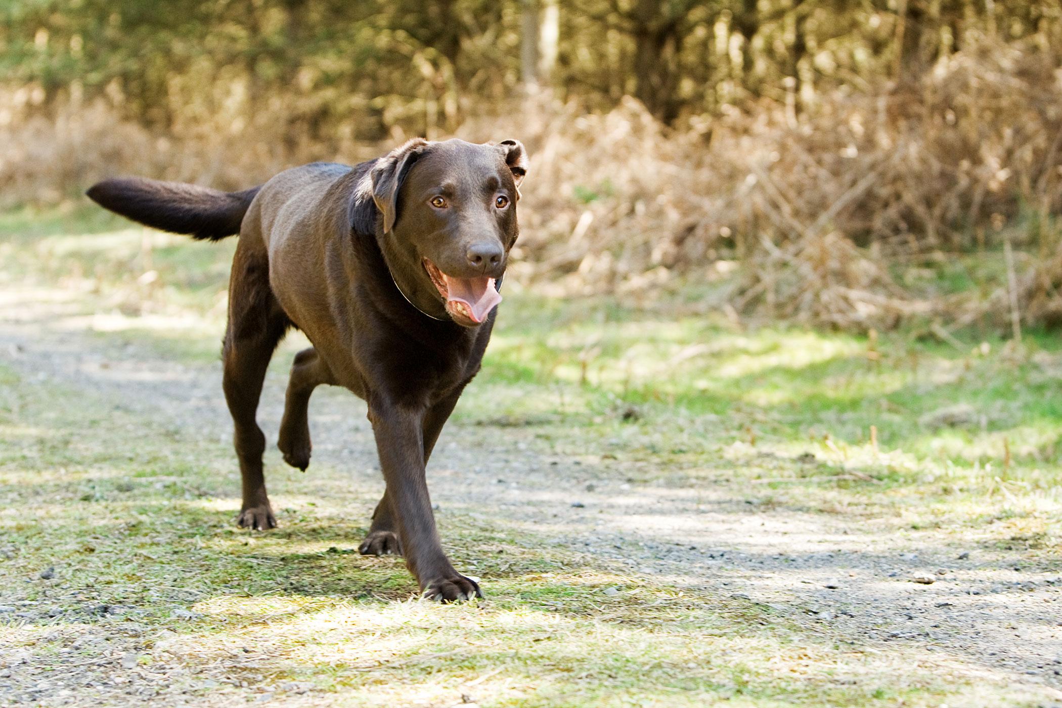 Legg-Calve-Perthes Disease in Dogs