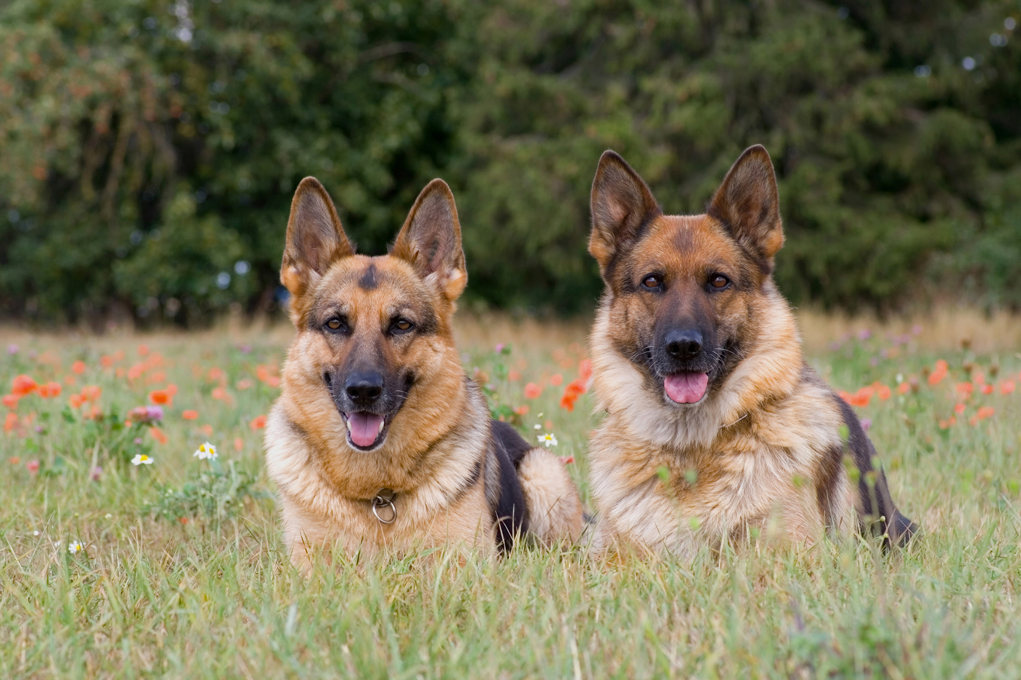 Lubra Plates in Dogs