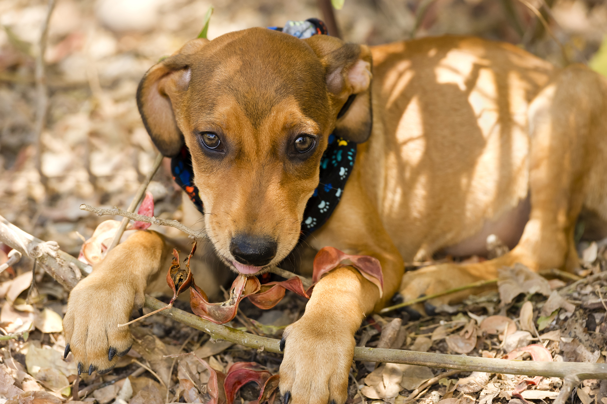 Median Sternotomy in Dogs
