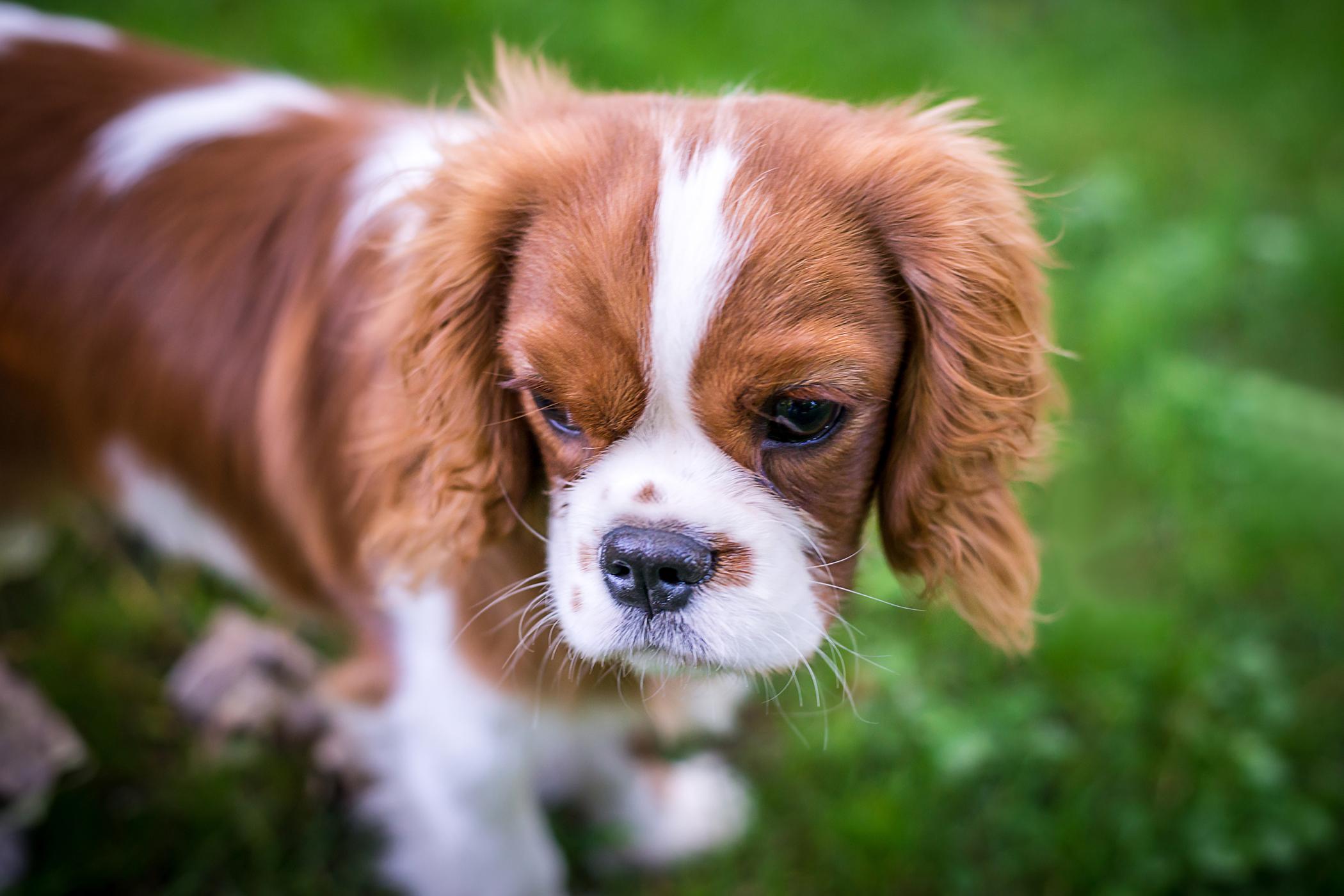 Nasodigital Hyperkeratosis in Dogs - Symptoms, Causes ...