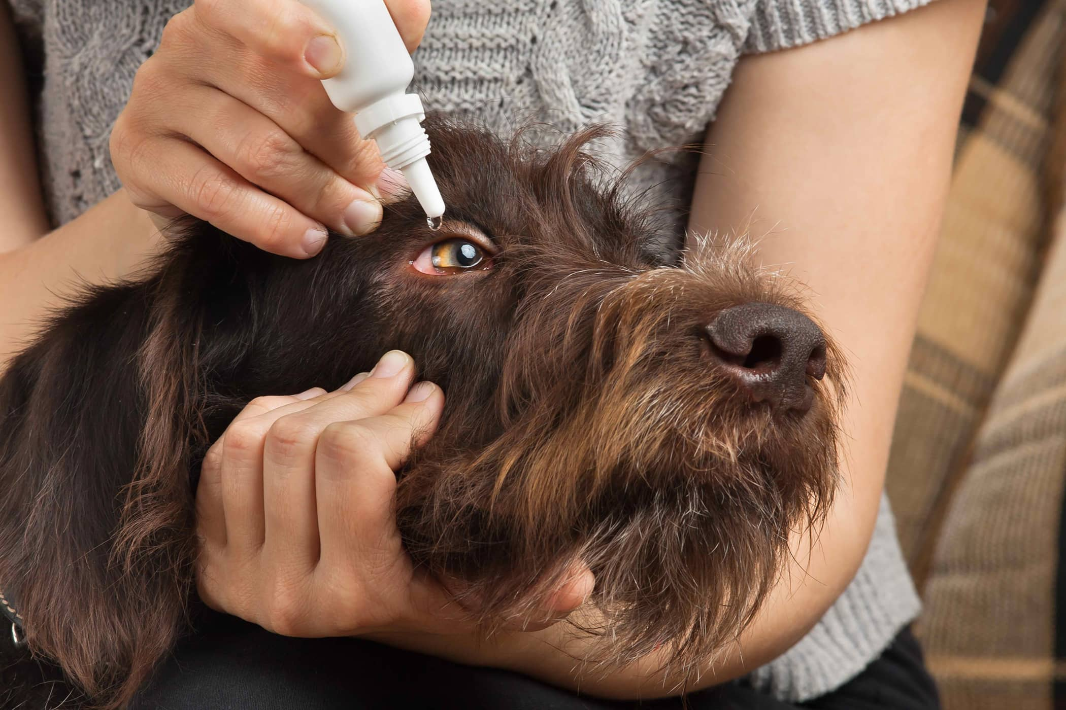 Natural Conjunctivitis Remedies in Dogs
