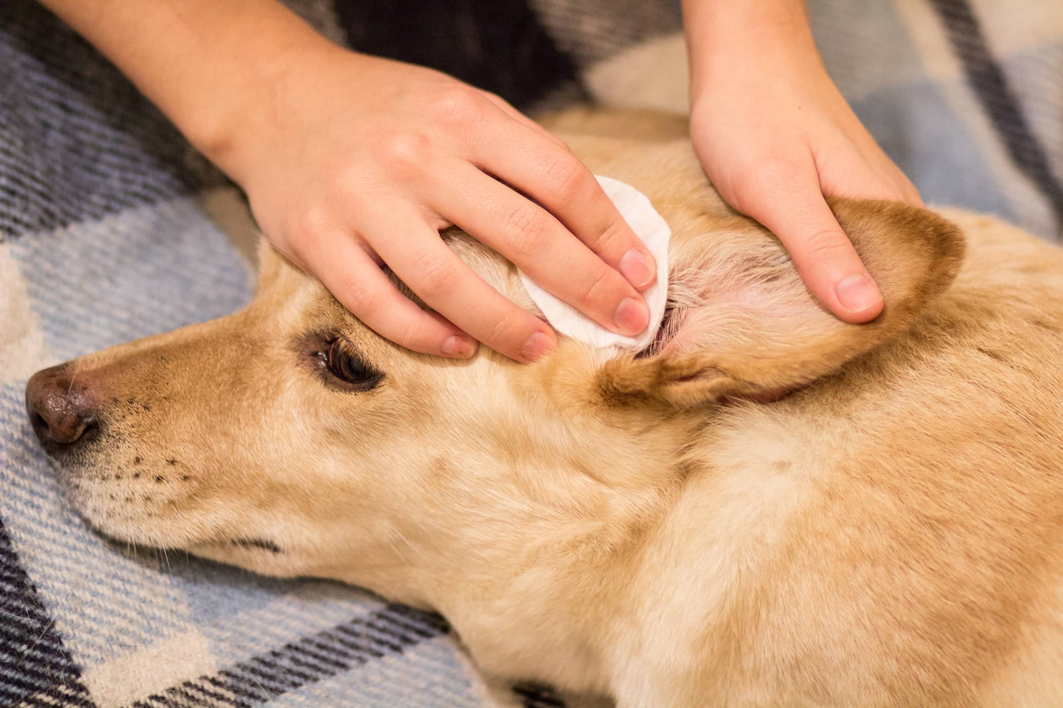 Natural Ear Infection Remedies in Dogs