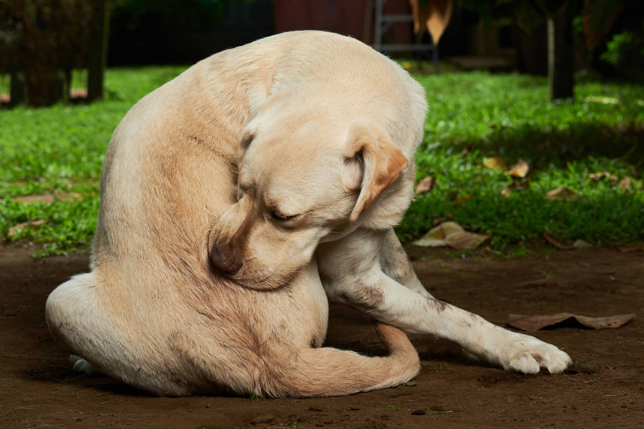 Natural Remedies for Allergies in Dogs