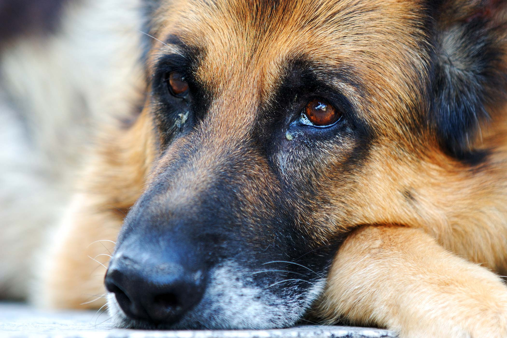 Allergies in Dogs - Symptoms, Causes, Diagnosis, Treatment ...