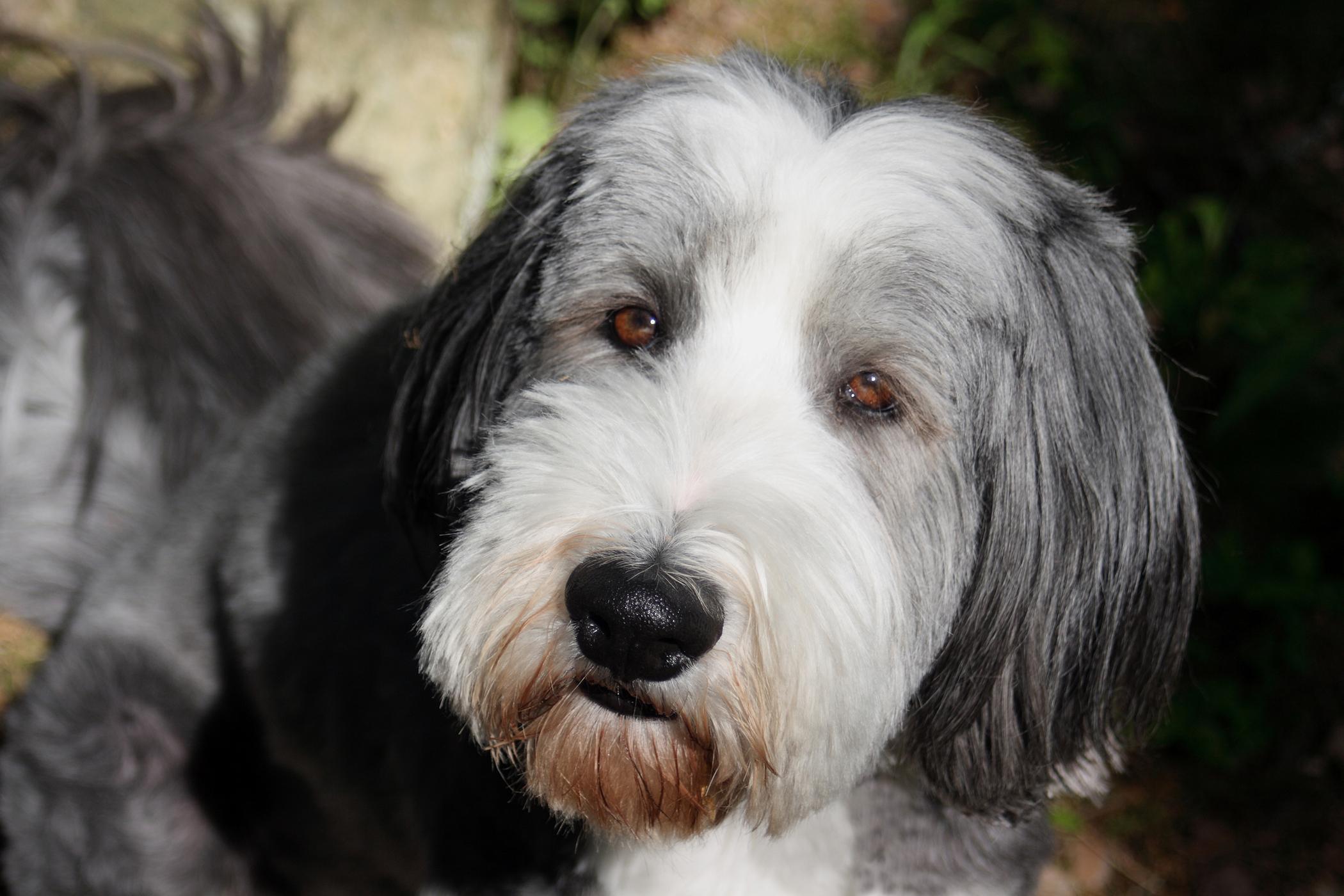 Ovariohysterectomy for Pyometra in Dogs