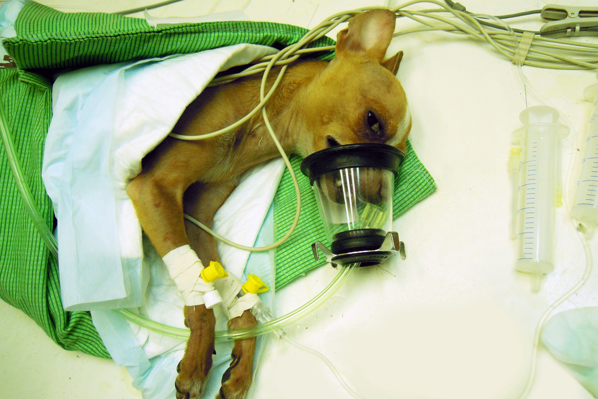 Oxygen Therapy in Dogs