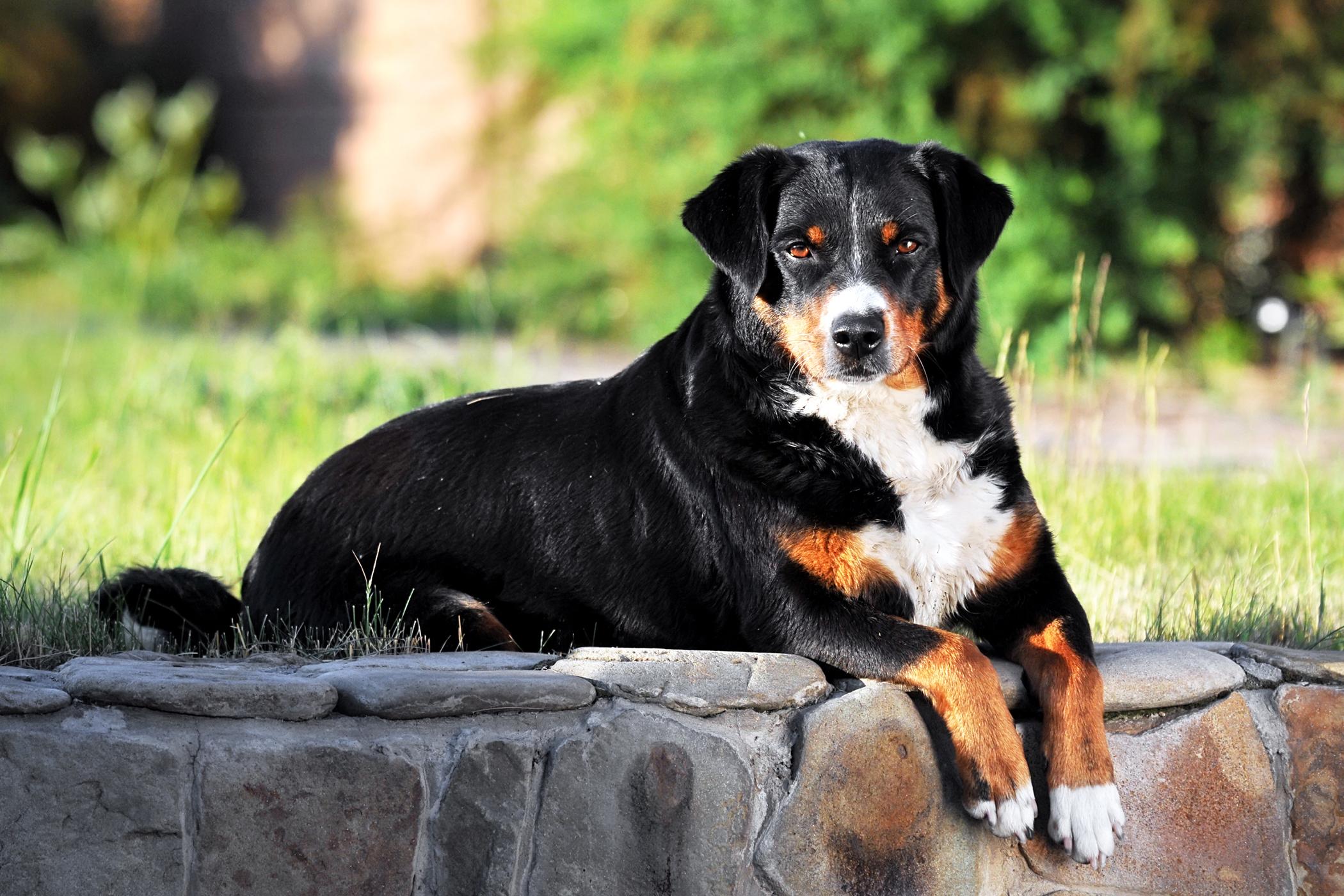Paatsama Stabilization in Dogs