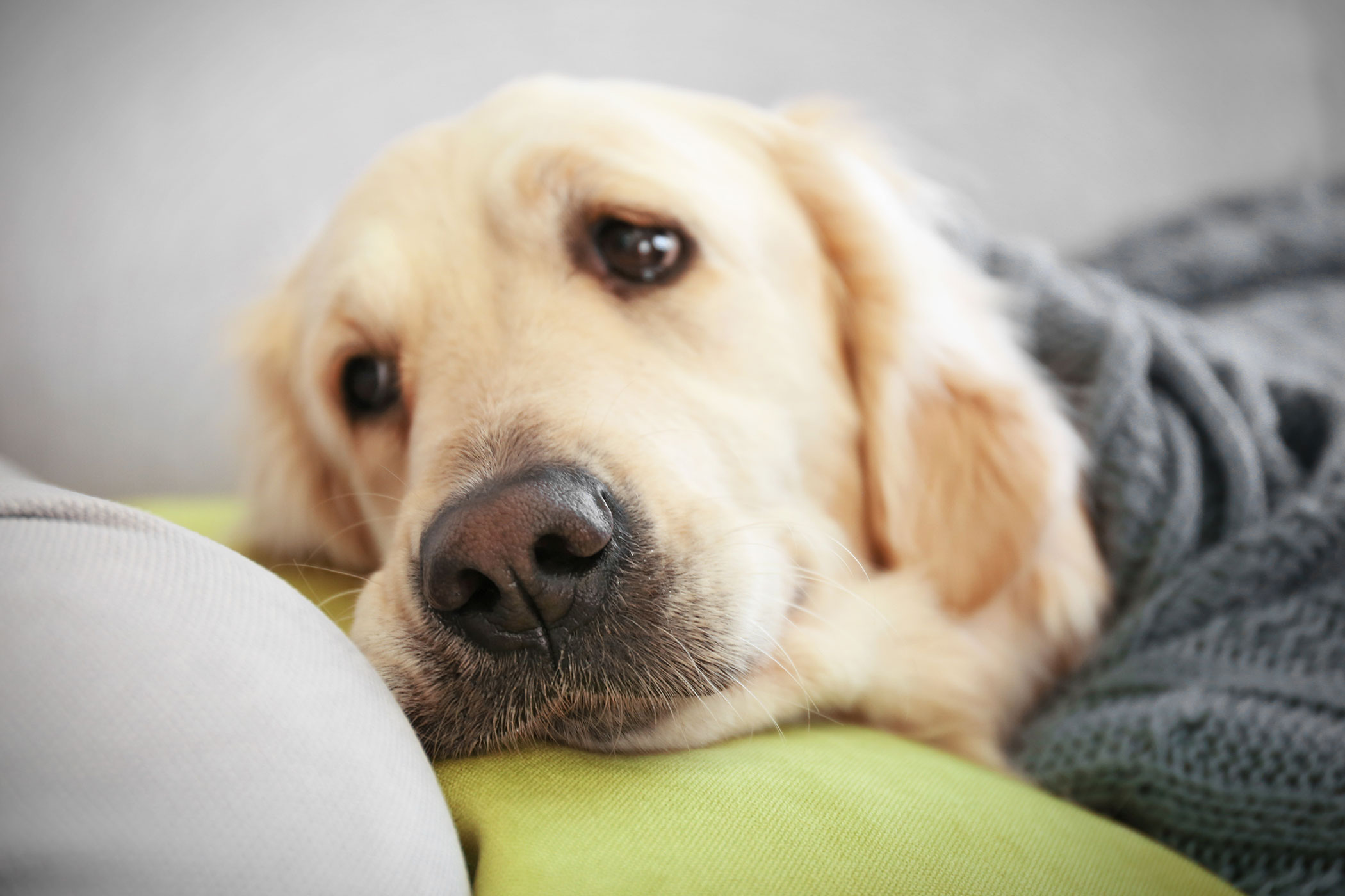 Parasitic Drug (Ivermectin) Poisoning in Dogs