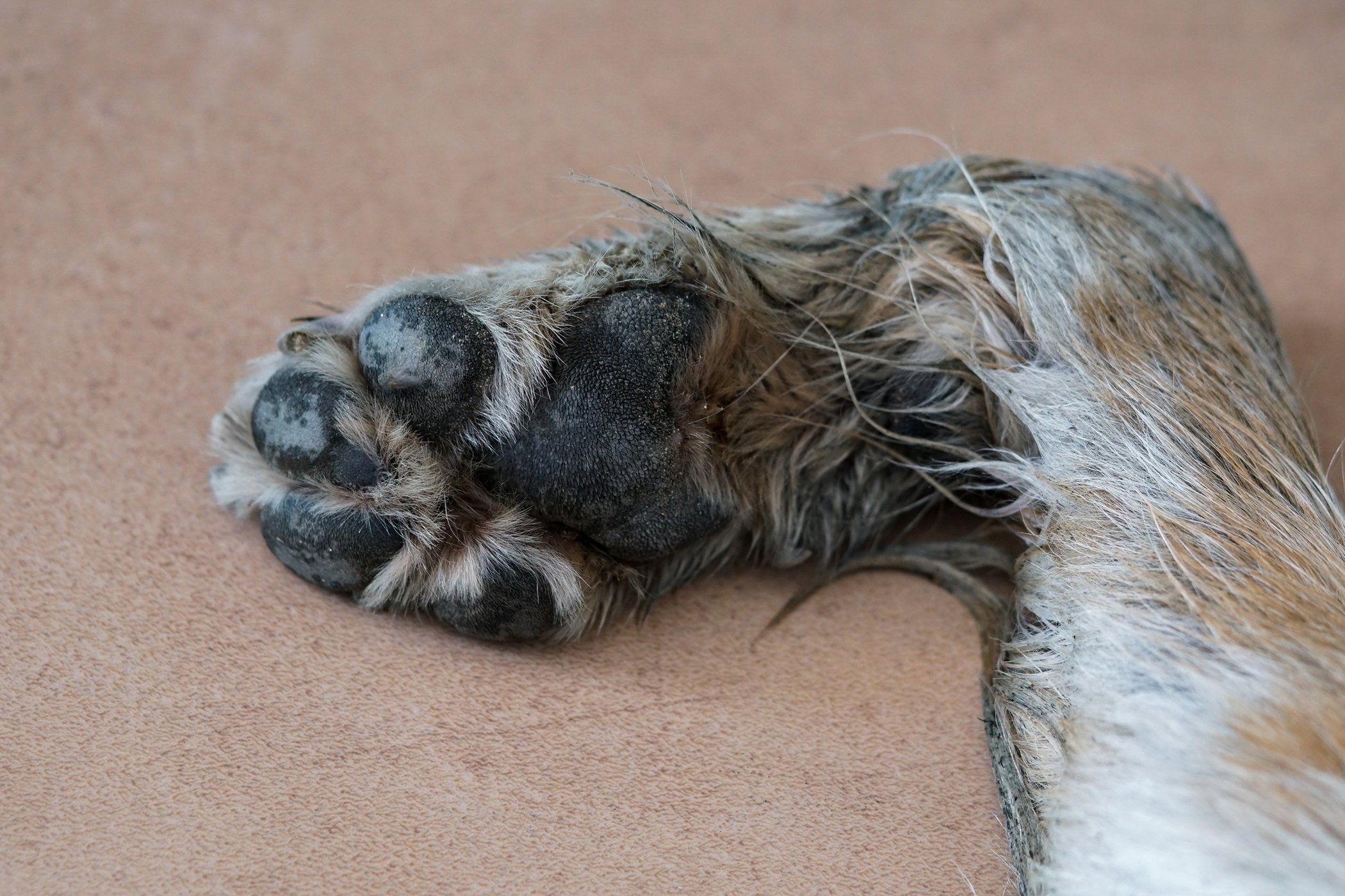 Partial Carpal Arthrodesis in Dogs