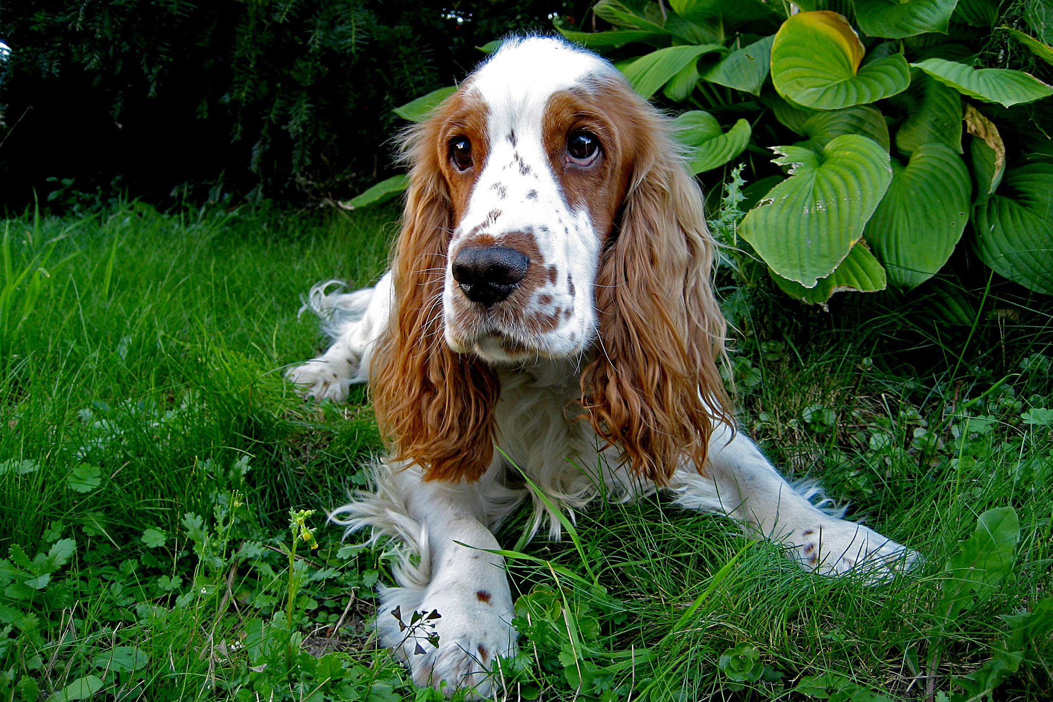 Partial Penile Amputation in Dogs