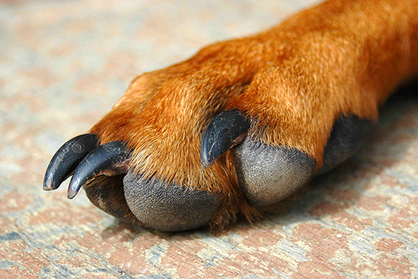Dogs Front Paw Turning In