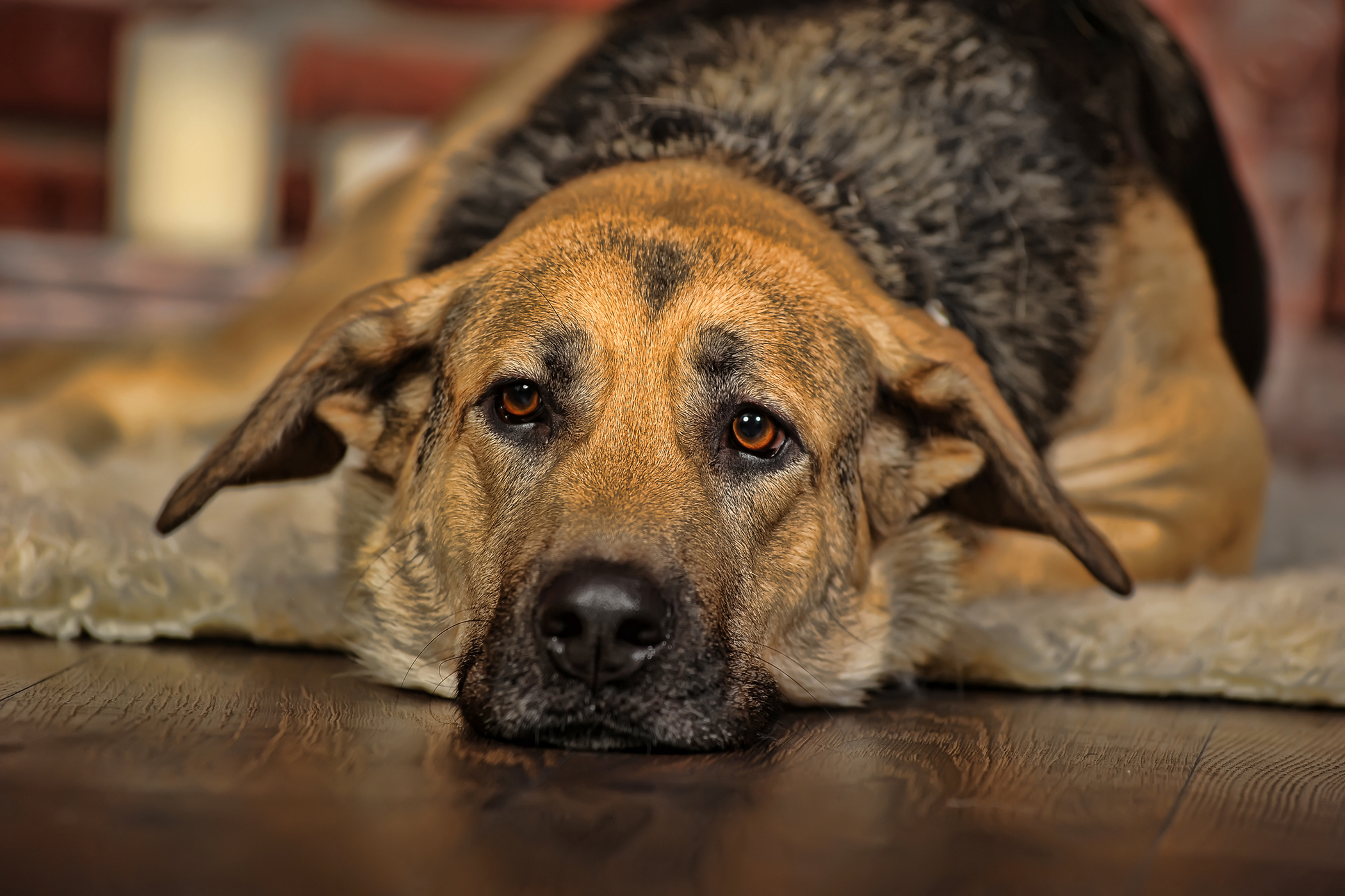 Perineal Herniorrhaphy in Dogs