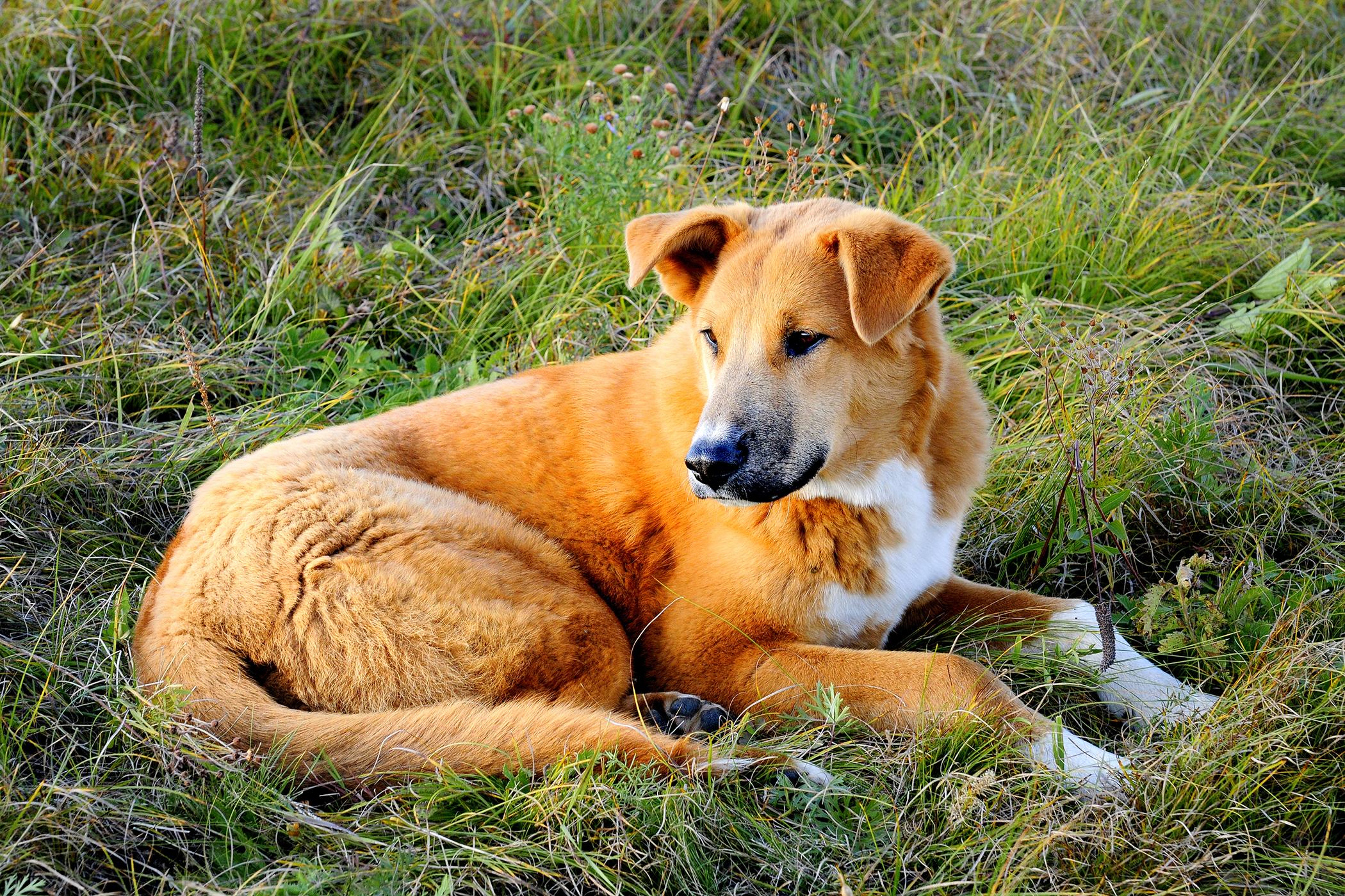 Pulmonary Artery Banding in Dogs