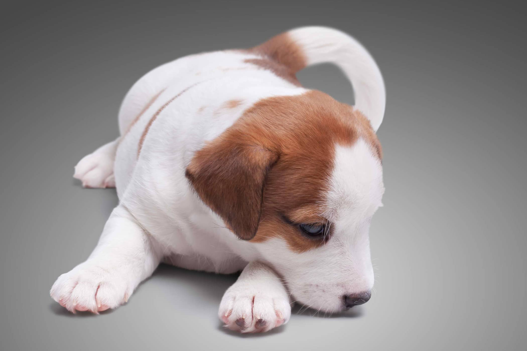 Rectal Prolapse Treatment in Dogs