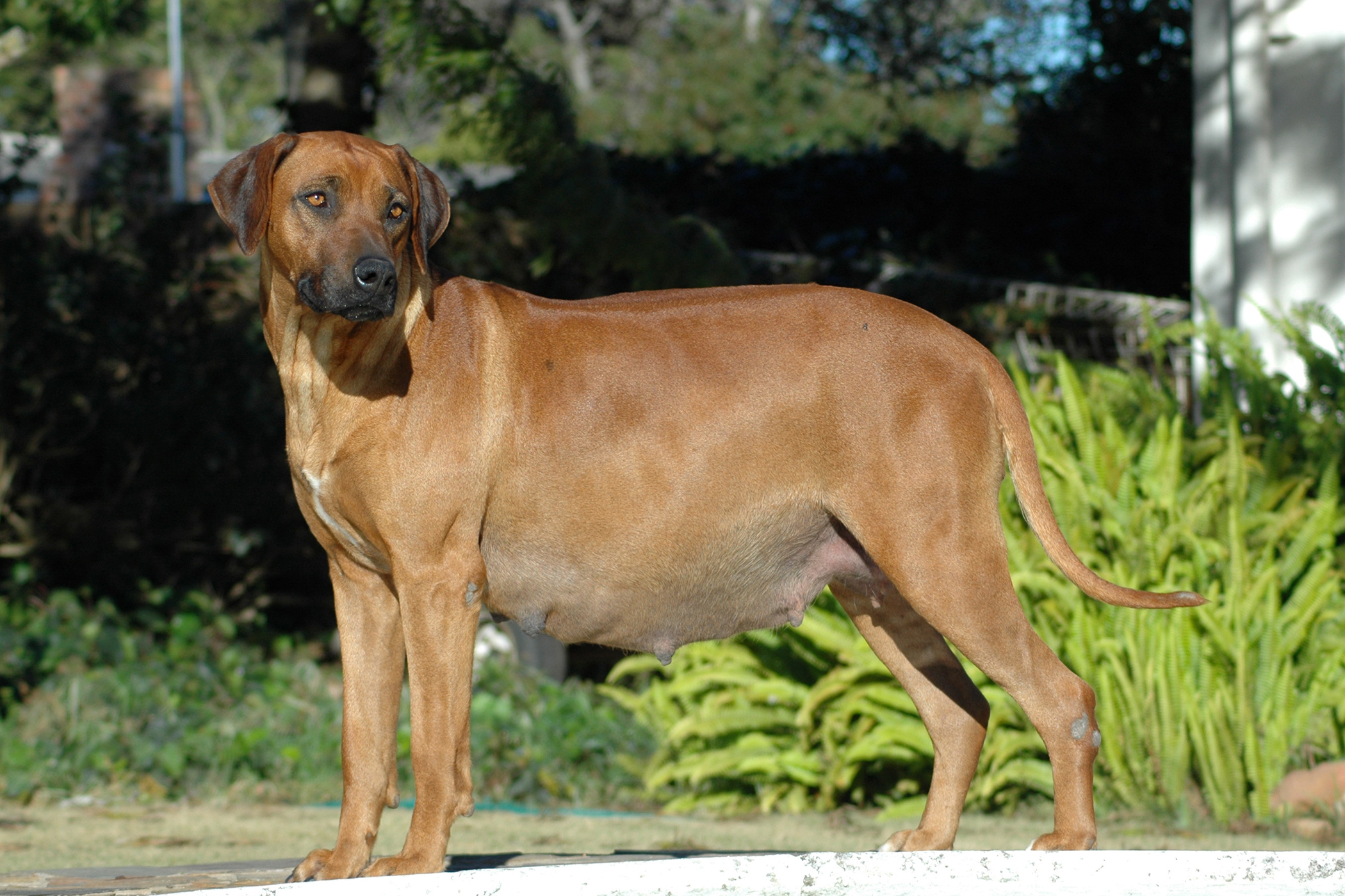 Renal Transplant in Dogs