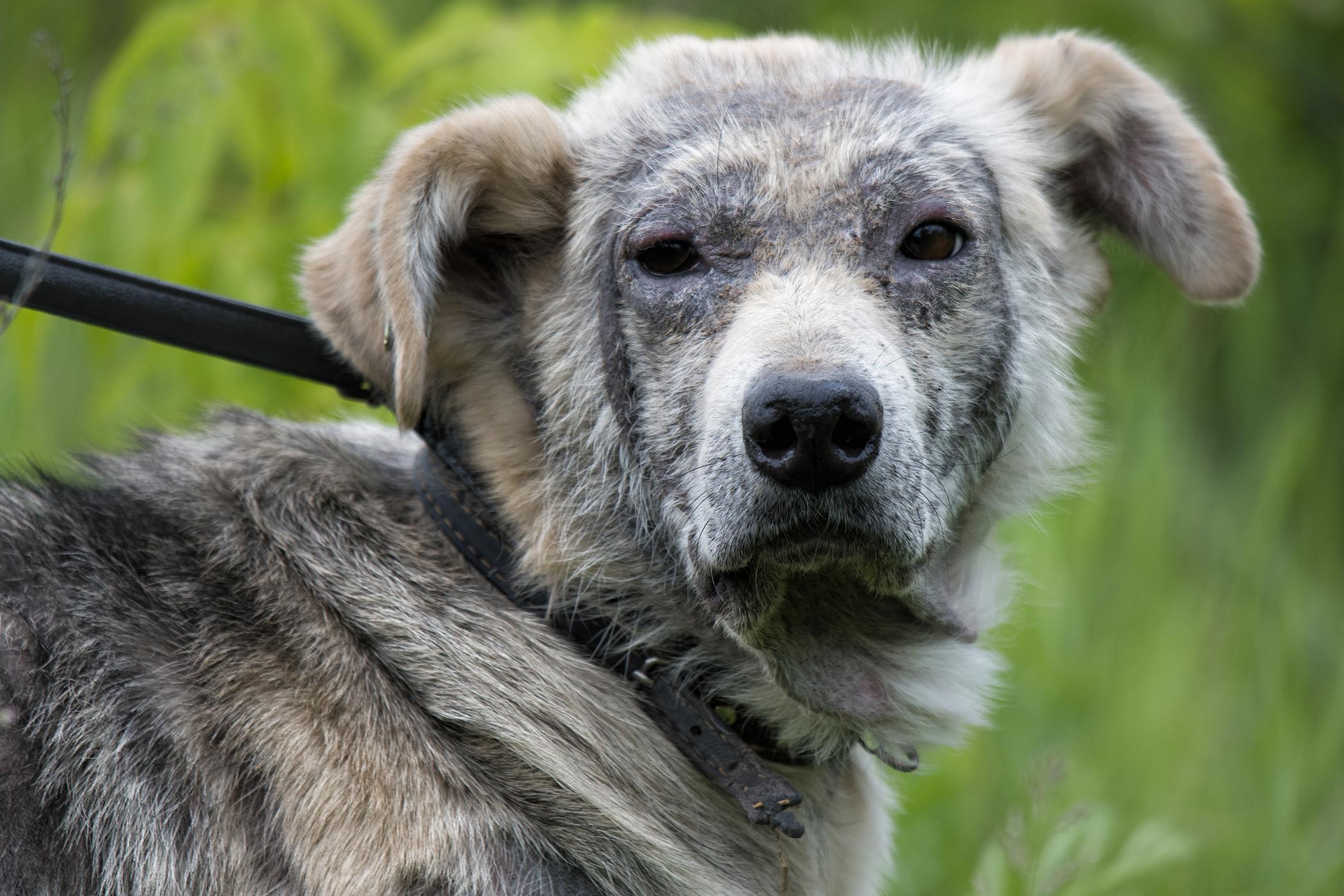 Sialoadenectomy in Dogs