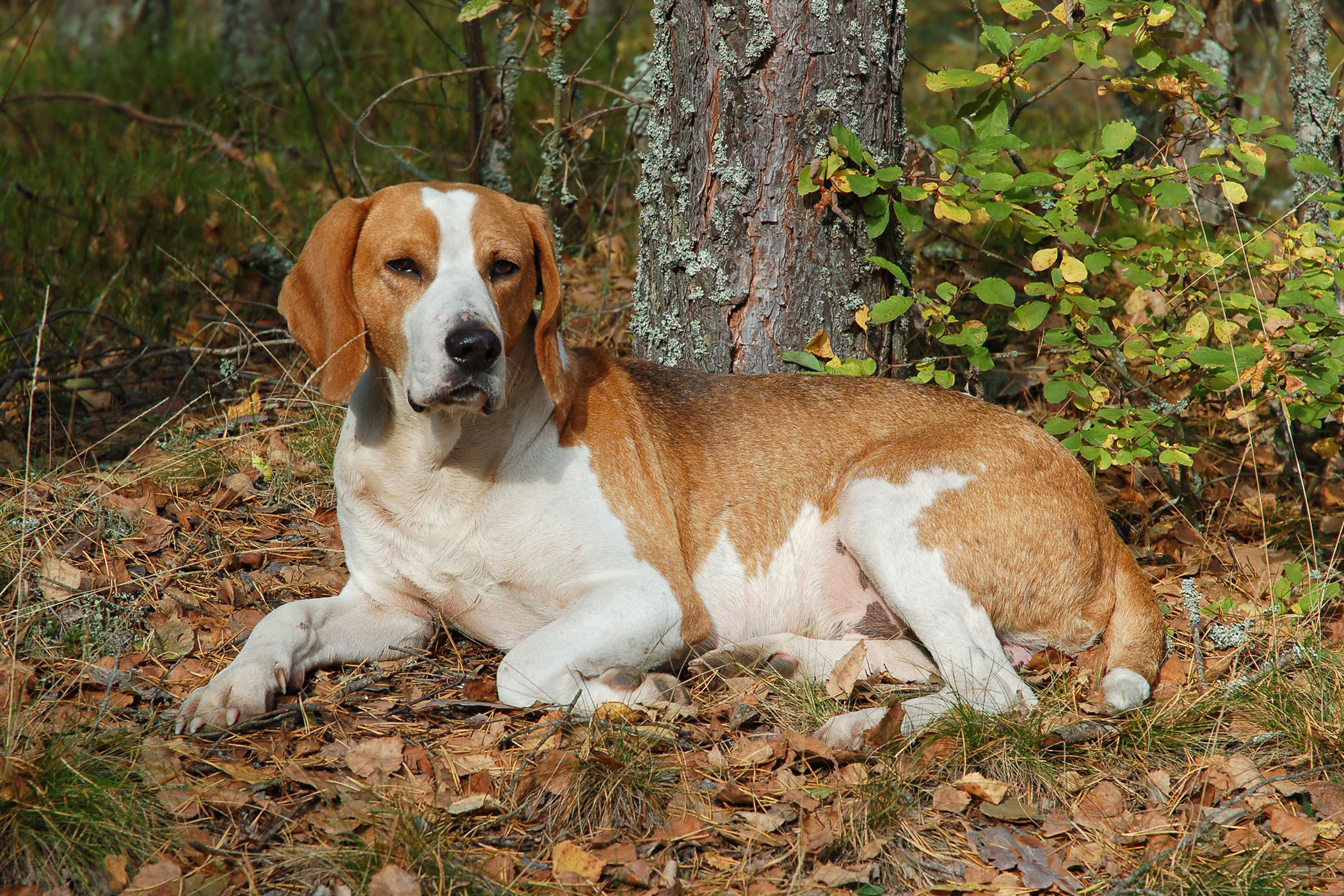 Hemorrhage in Dogs Symptoms Causes Diagnosis Treatment