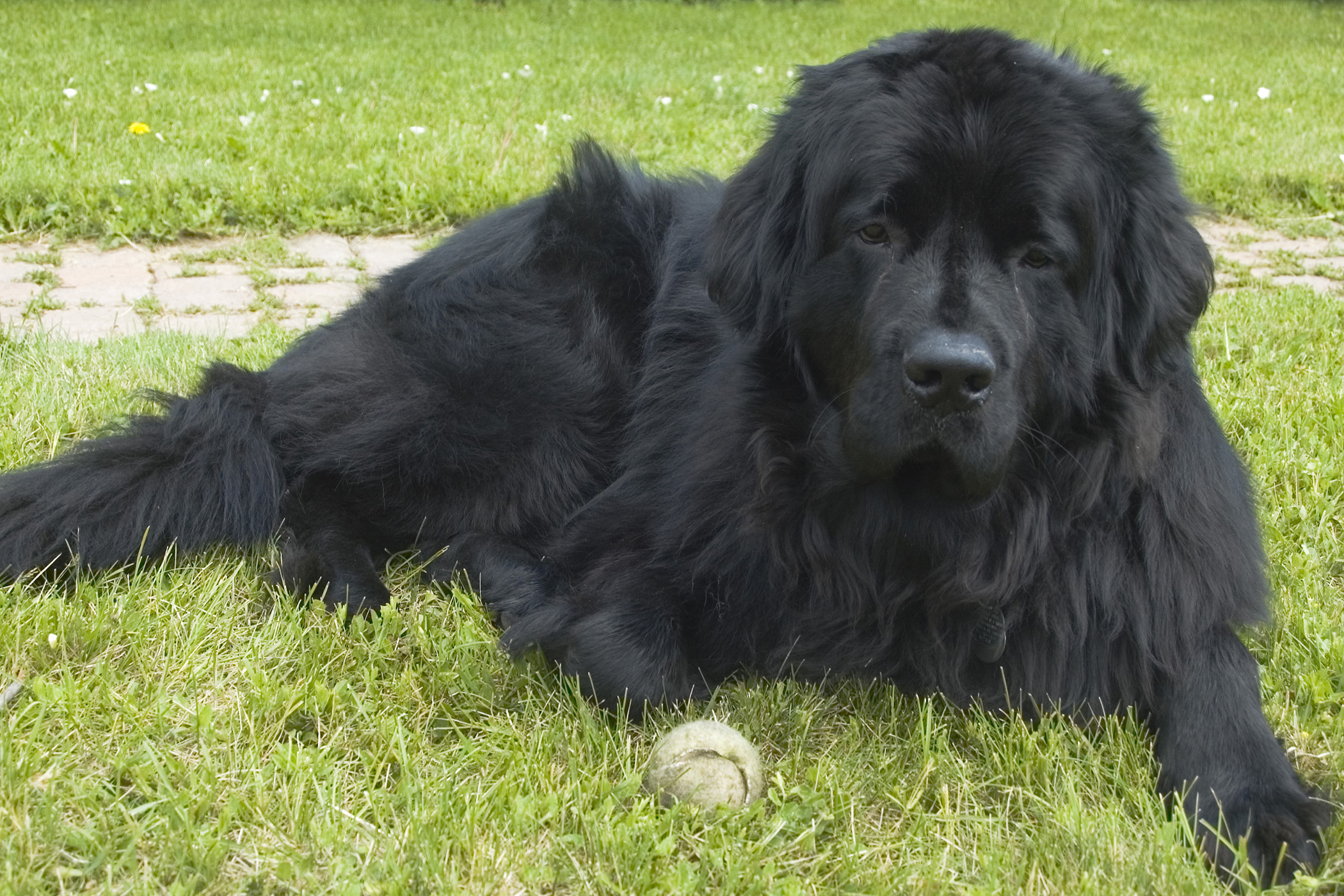 Torsion in Dogs Symptoms Causes Diagnosis Treatment Recovery