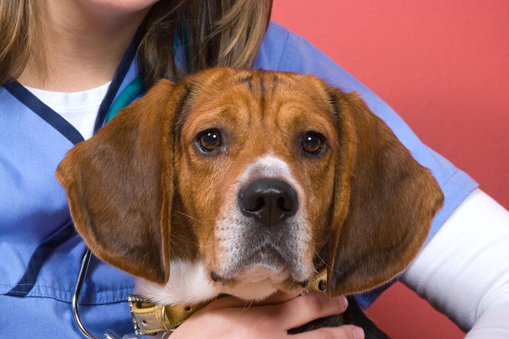 Thyroid Cancer (Adenocarcinoma) in Dogs