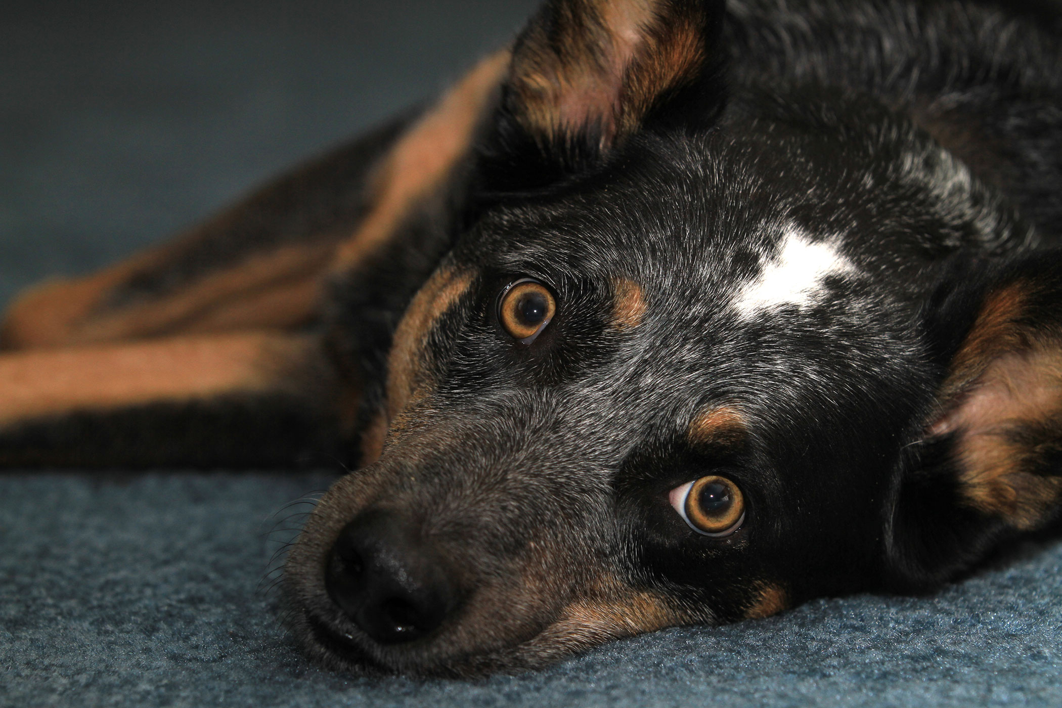 Thyroid Poisoning in Dogs