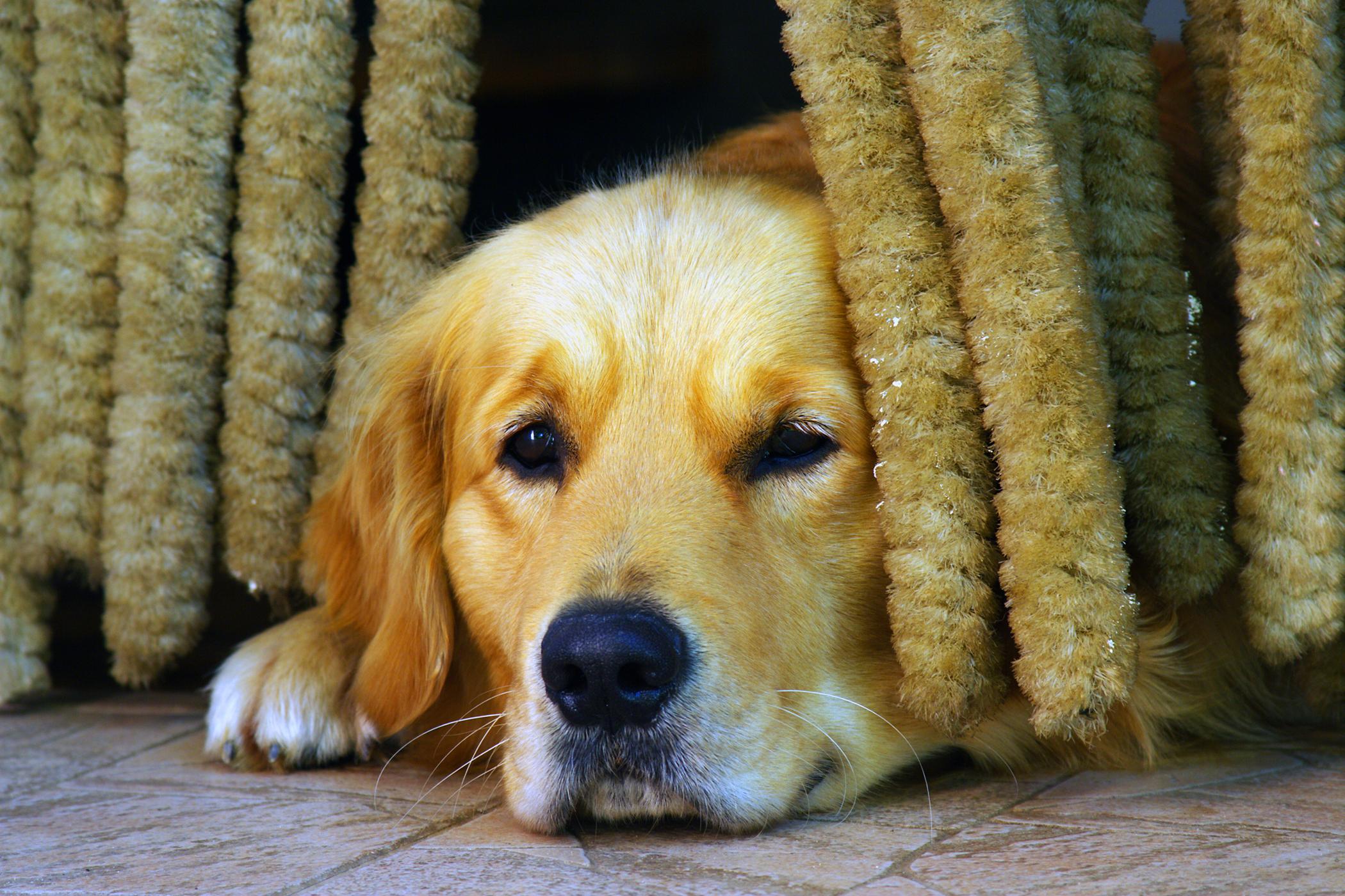 Tracheostomy in Dogs