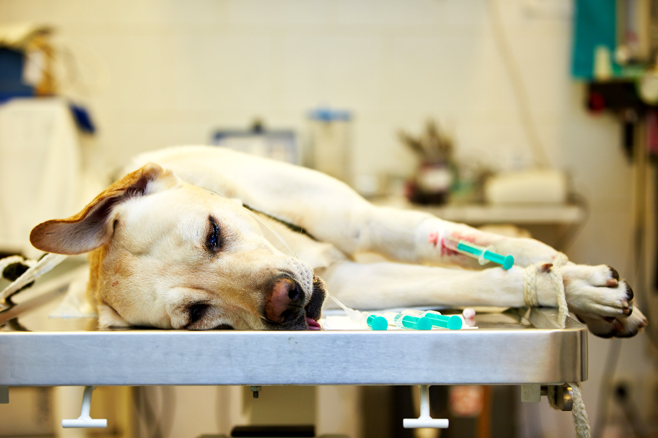 Spleen in Dogs Symptoms Causes Diagnosis Treatment Recovery