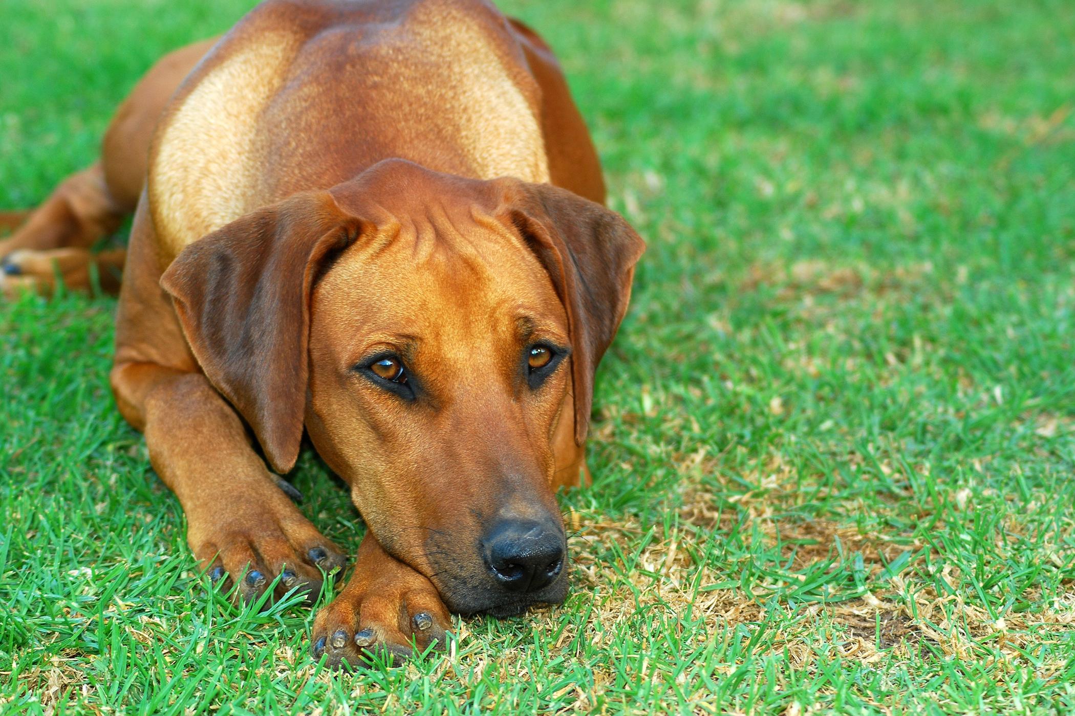 Urethrotomy in Dogs