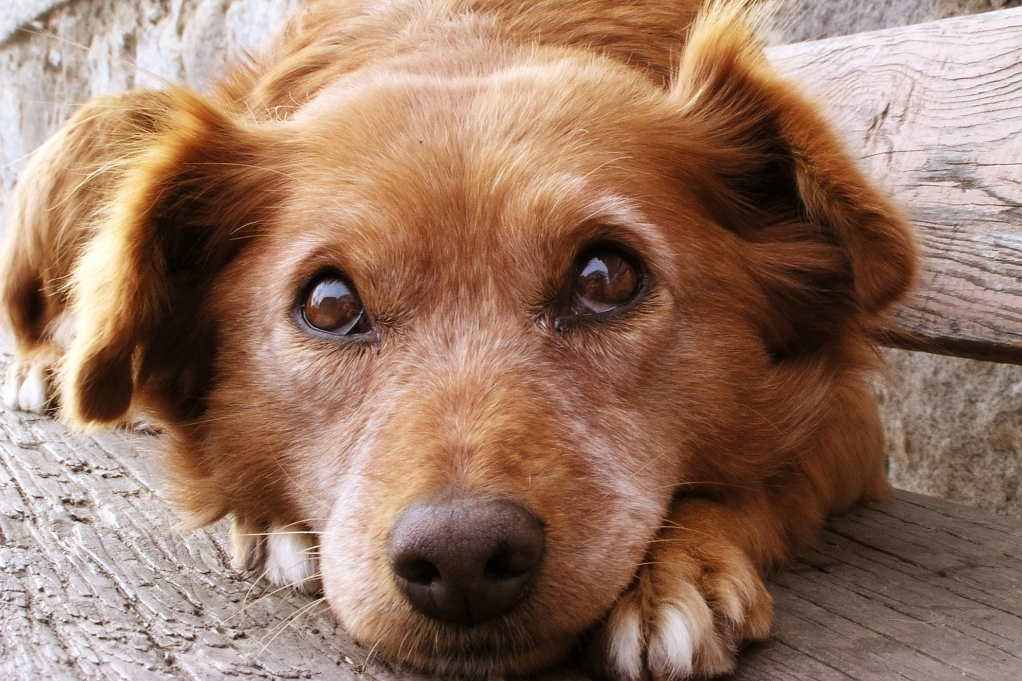 vestibular disease in dogs symptoms causes diagnosis