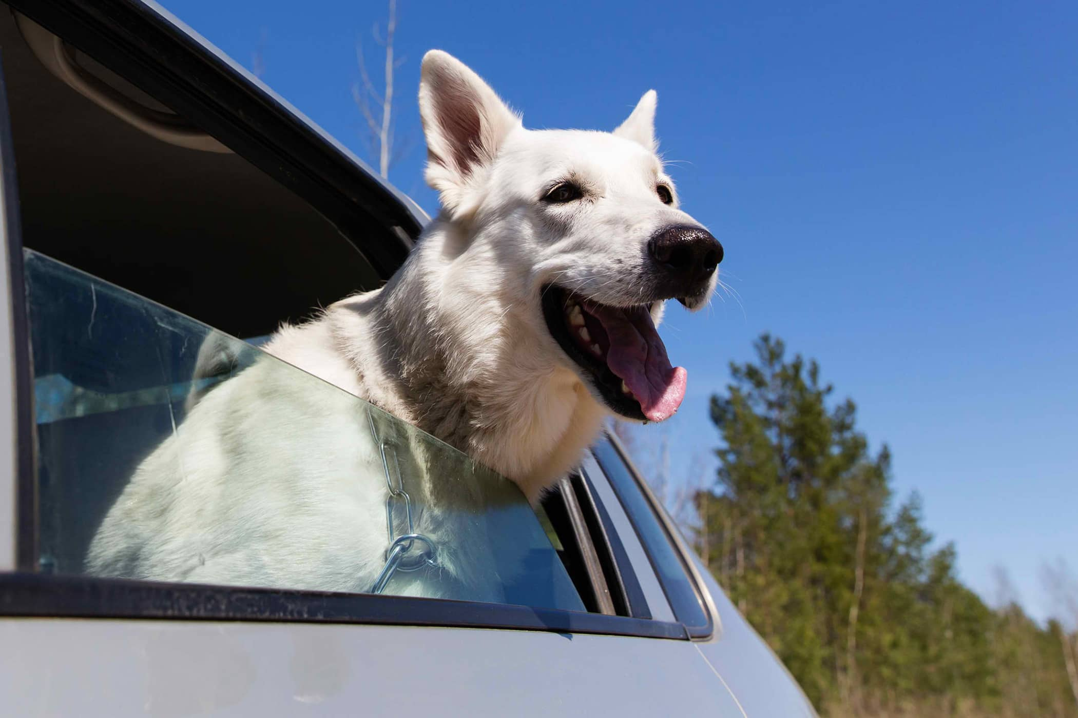 Drooling in the Car in Dogs