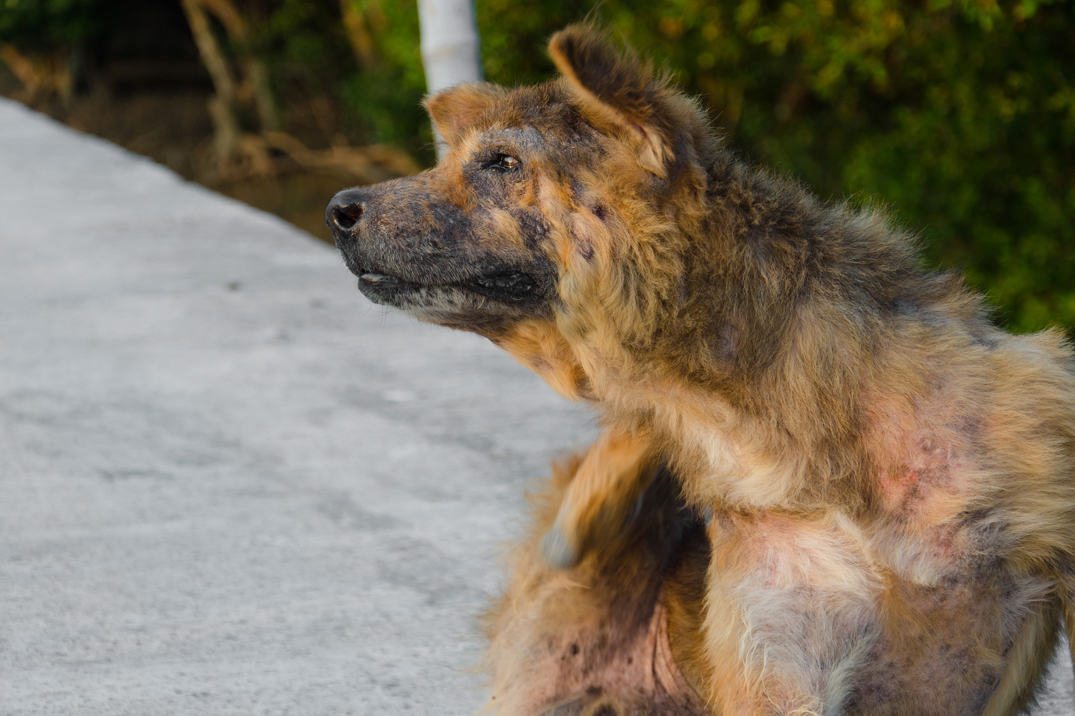 Itchy and Losing Hair in Dogs