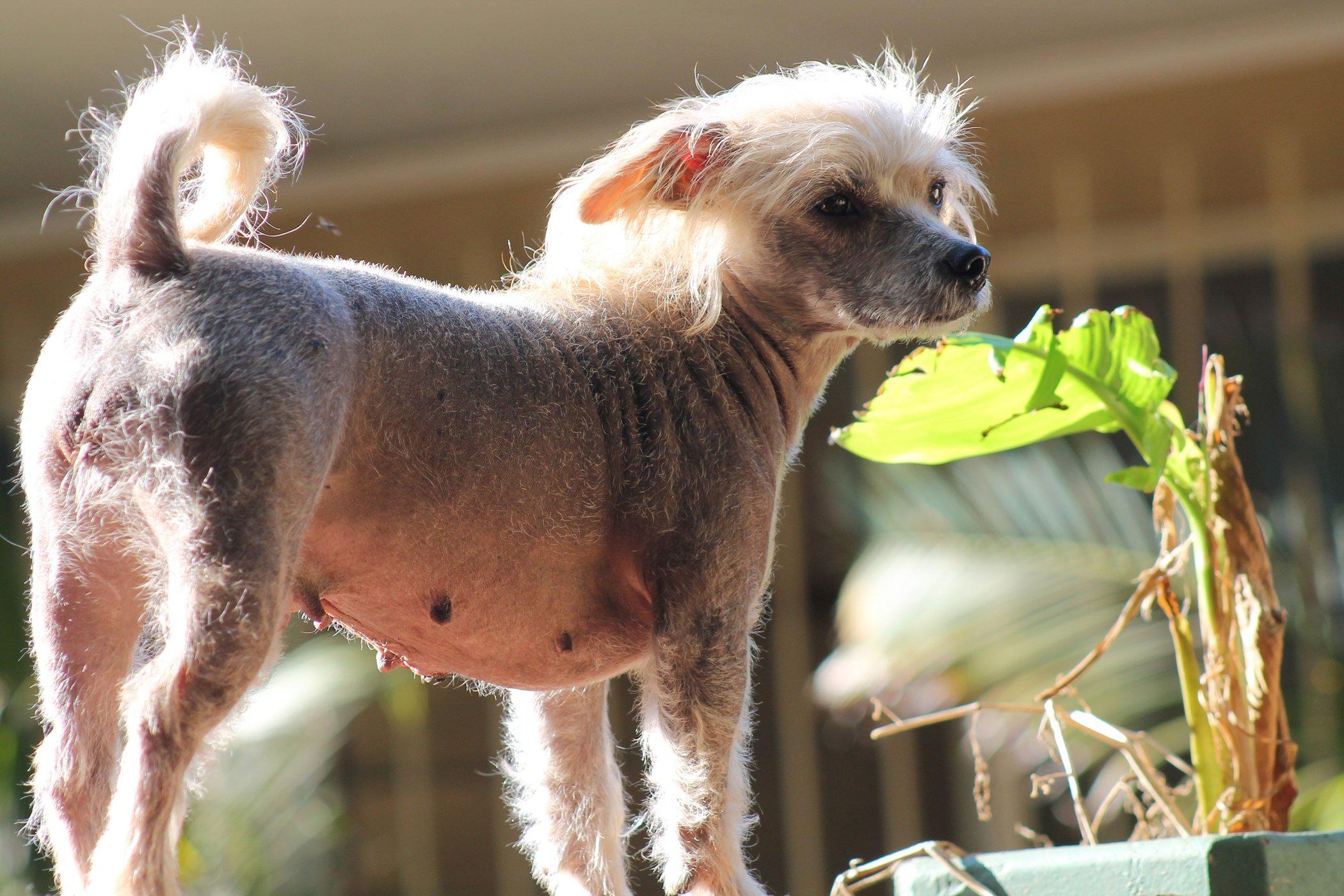 Losing Hair in Dogs