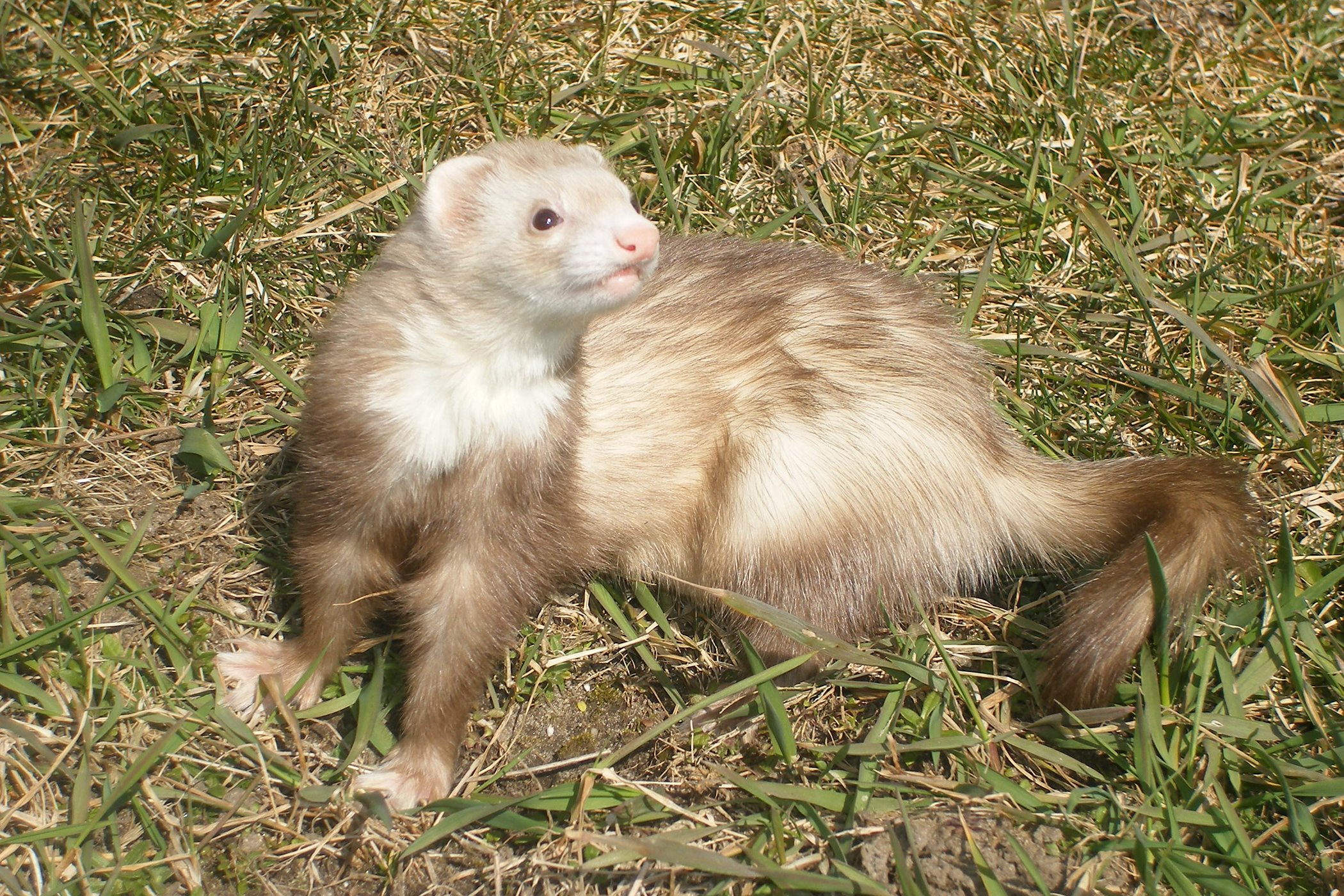 Abnormally Large Kidneys in Ferrets