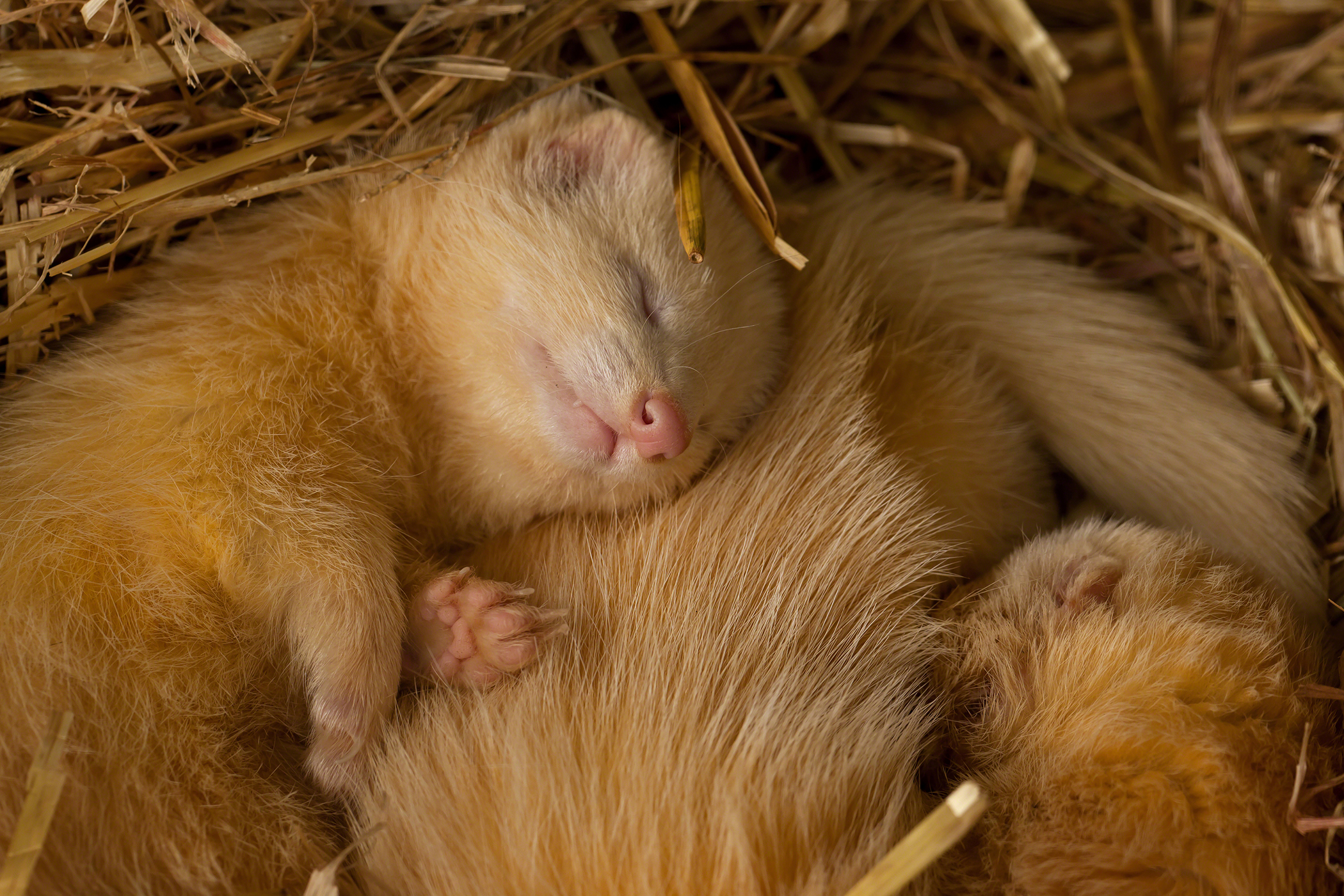 Accumulation of Fluid in the Abdomen in Ferrets