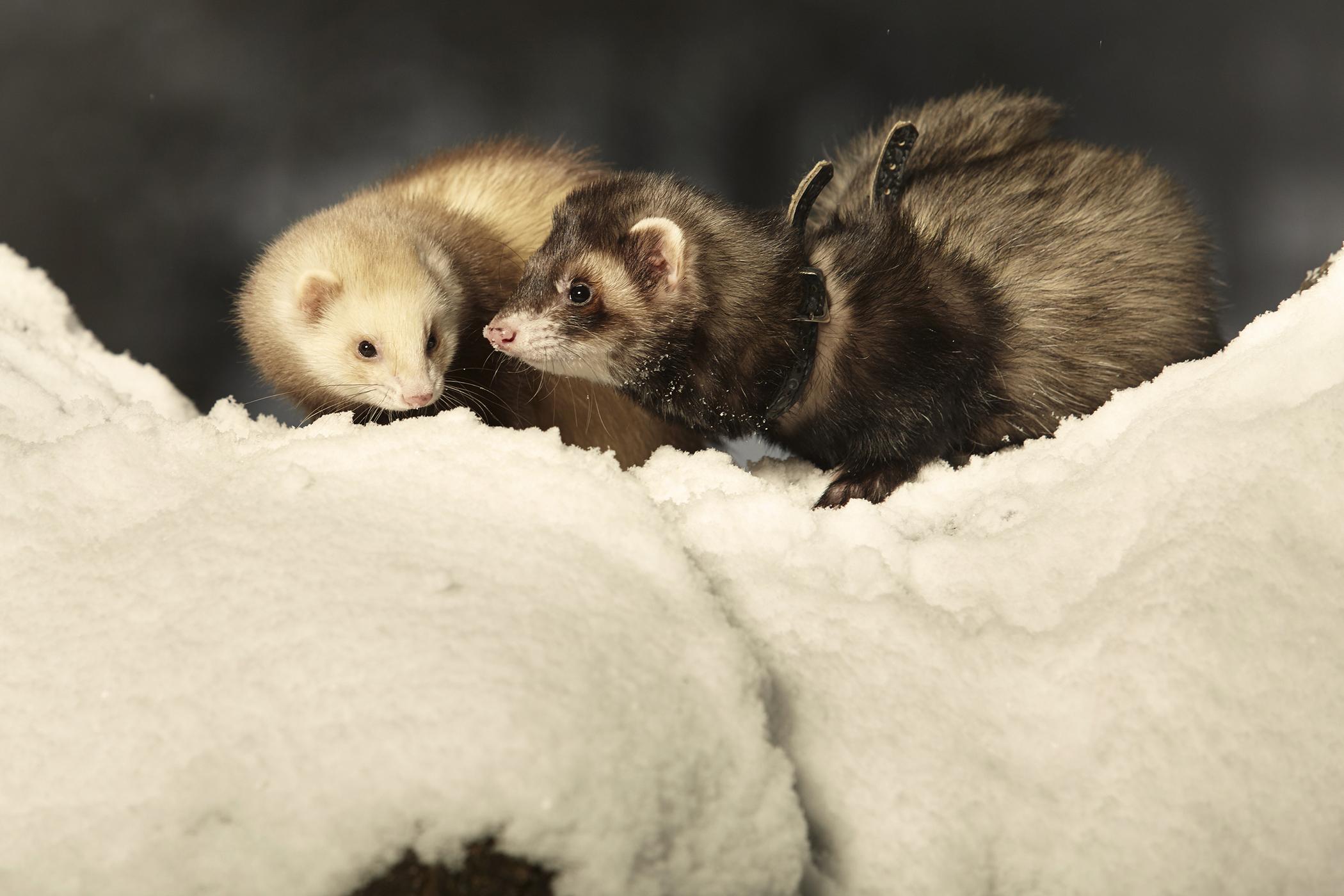 Aspiration Pneumonia in Ferrets