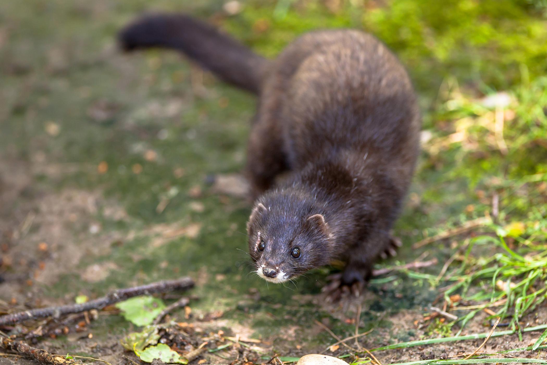 Black Tarry Feces in Ferrets