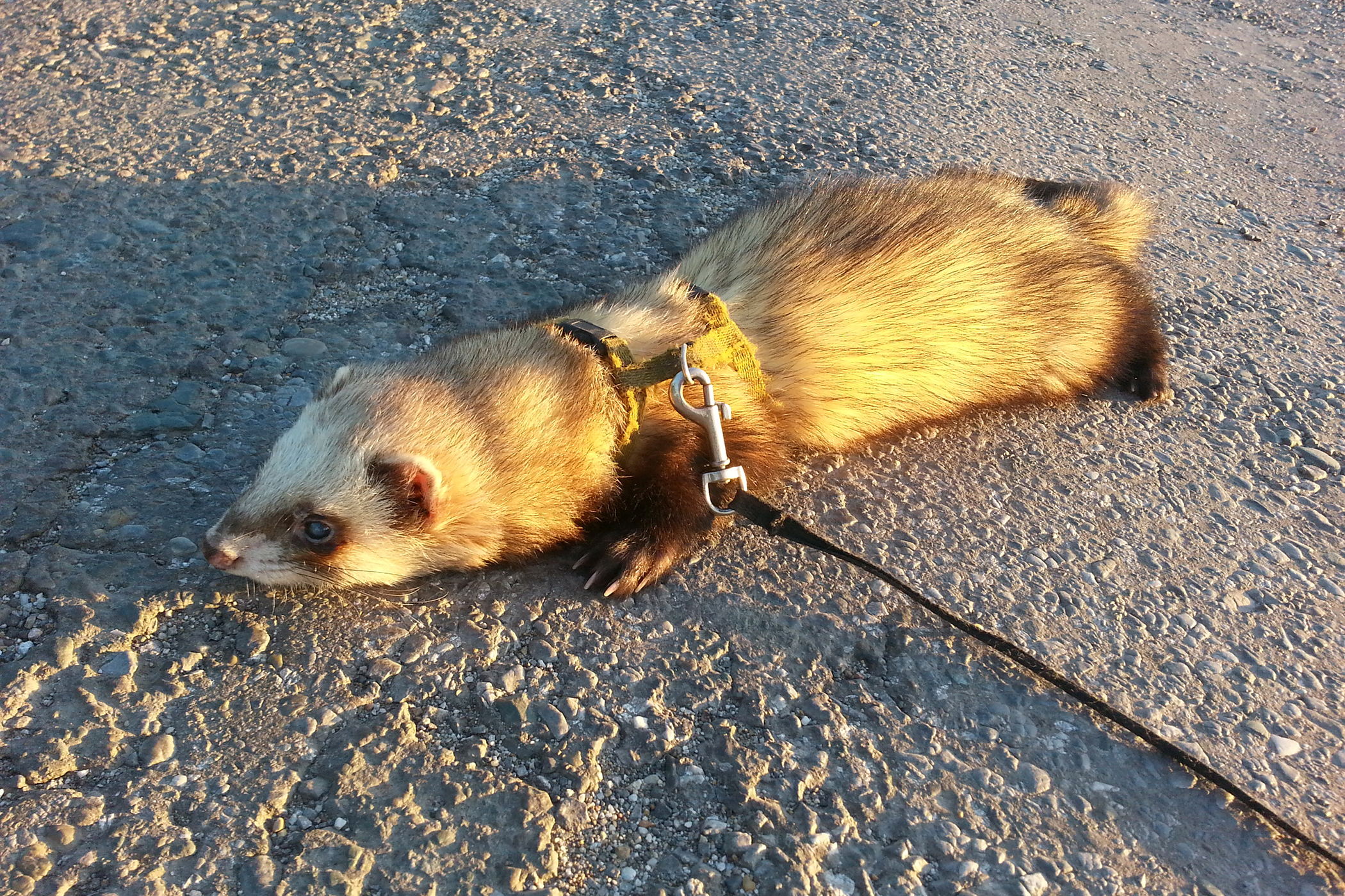 Bot Fly Infestation in Ferrets