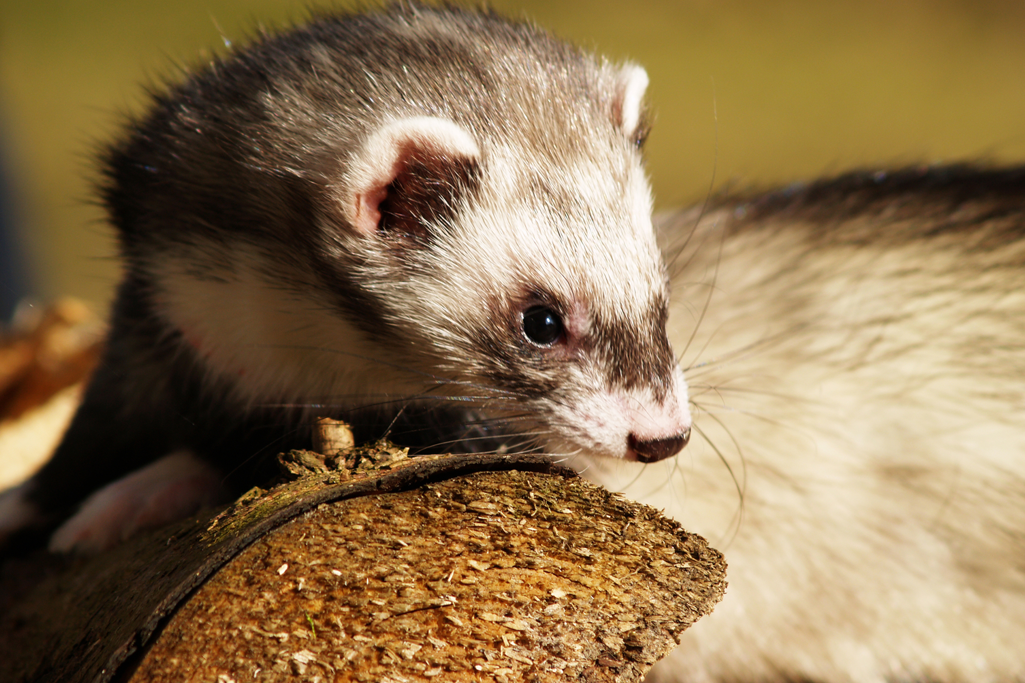 Constipation and Bloody Stool in Ferrets