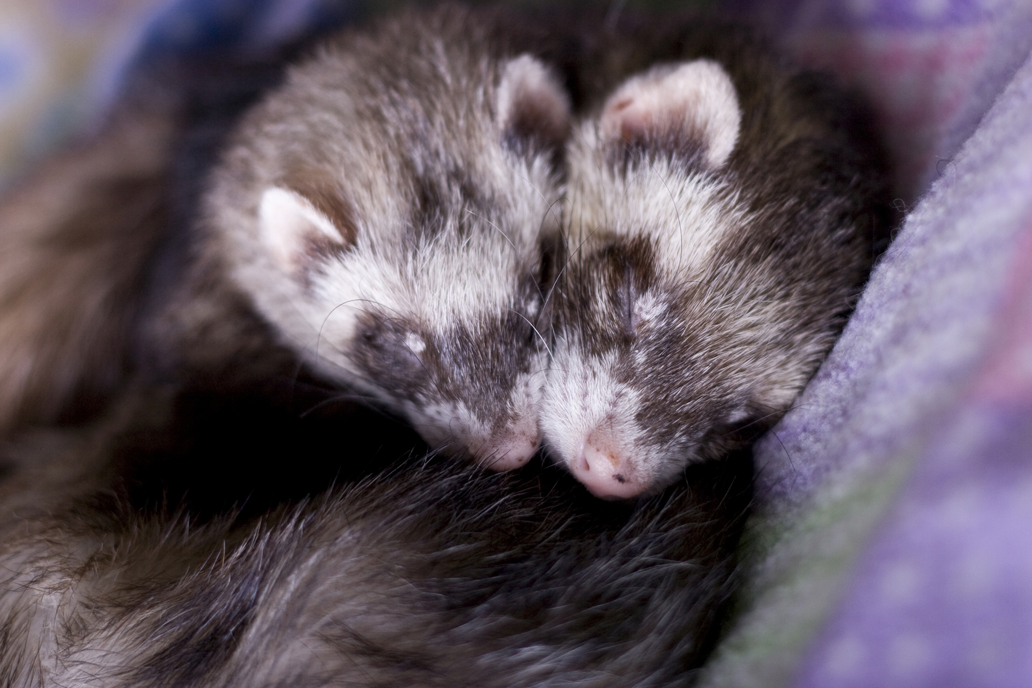 Cutaneous Mast Cell Tumors in Ferrets
