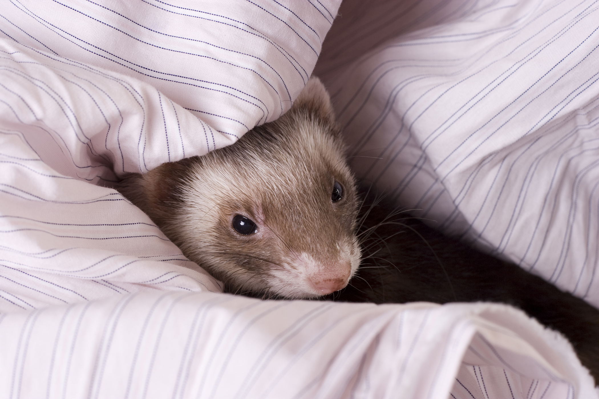 Difficult, Painful, and Frequent Urination in Ferrets