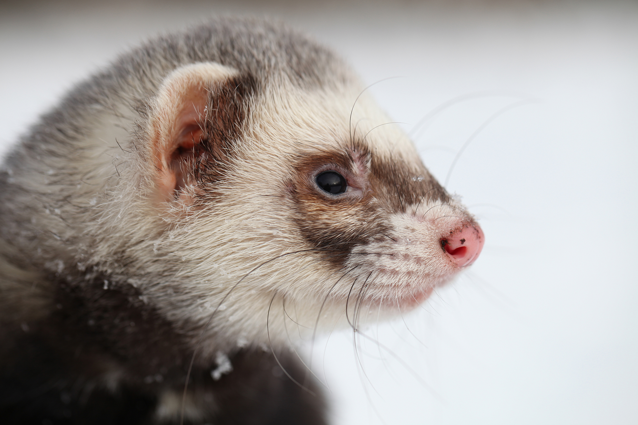 Enlarged Liver in Ferrets